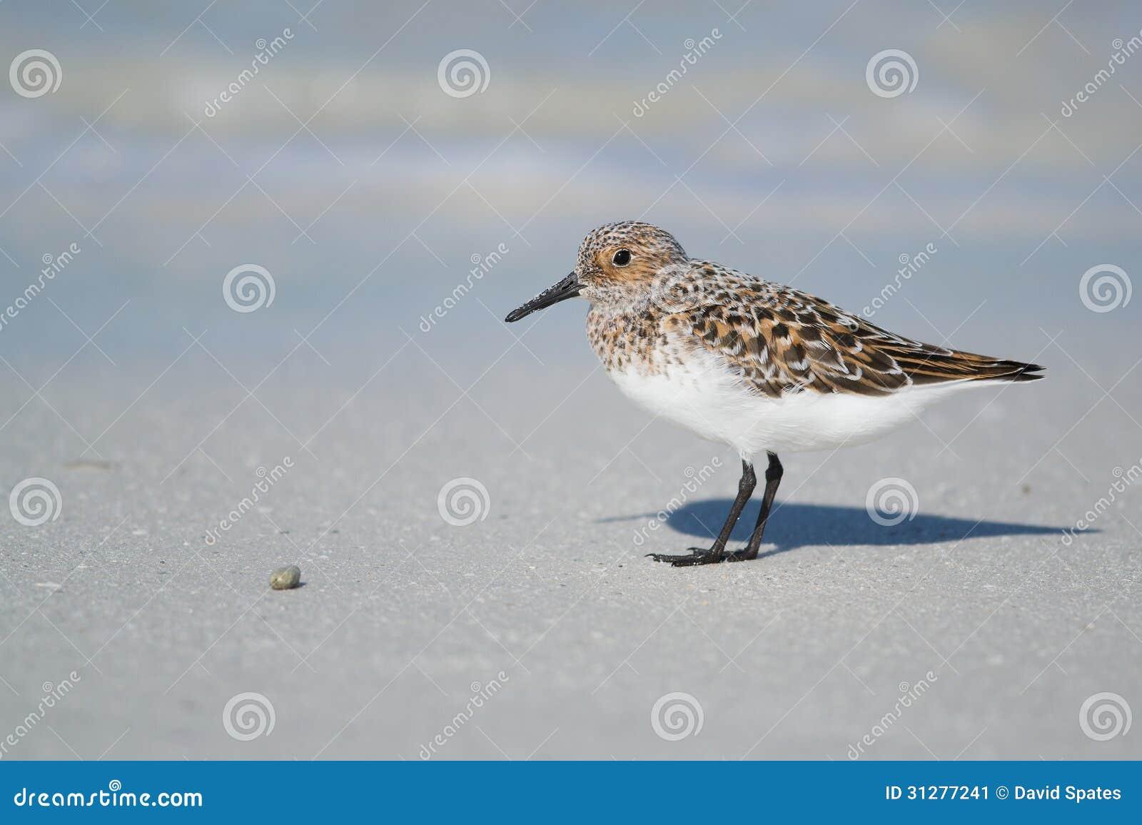 Sanderling na costa da praia