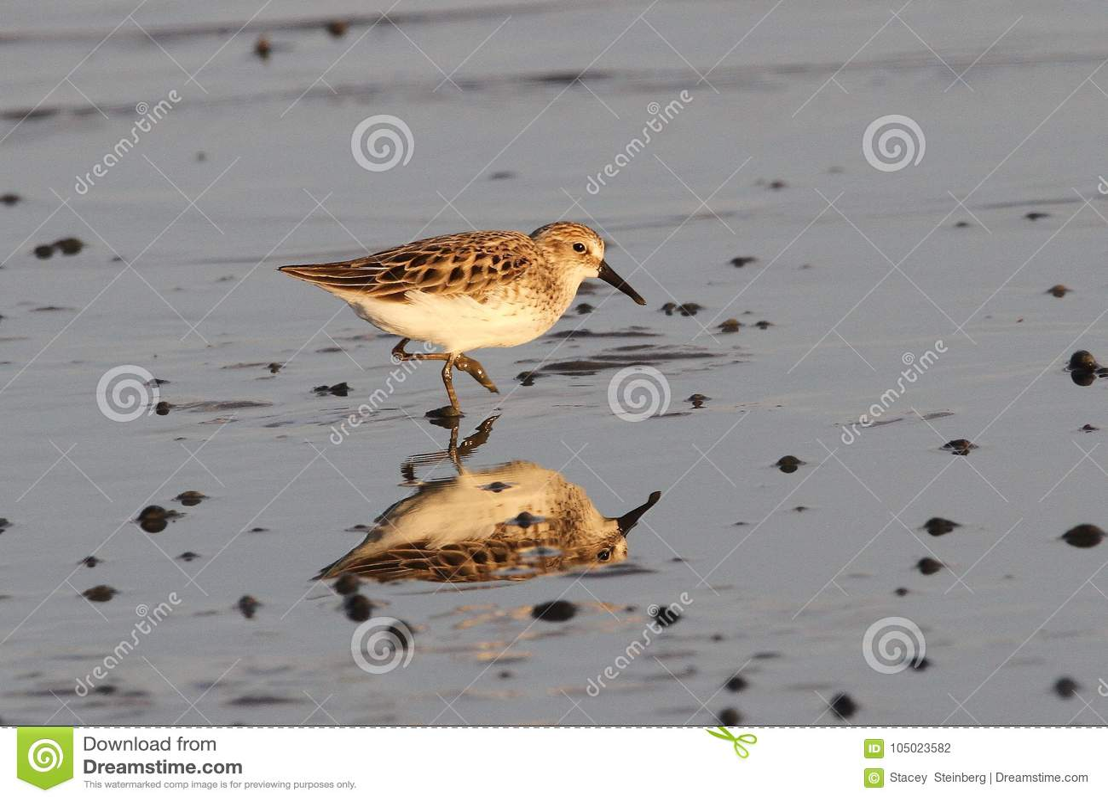 Sanderling in ondiep water in Delaware