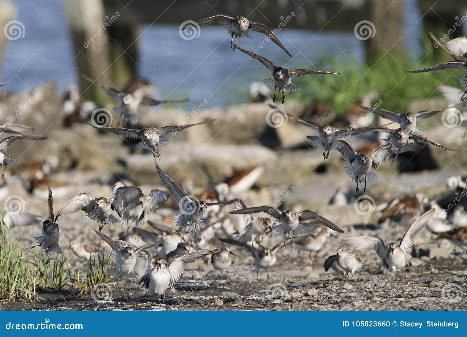Sanderlingstroep die binnen voor het Landen komen