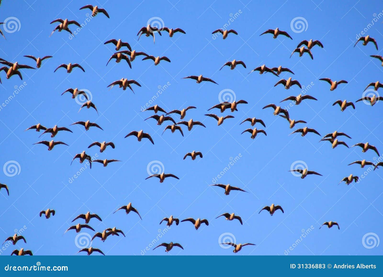 Sandgrouse, Namaqua - Wild Birds From Africa - In Flight