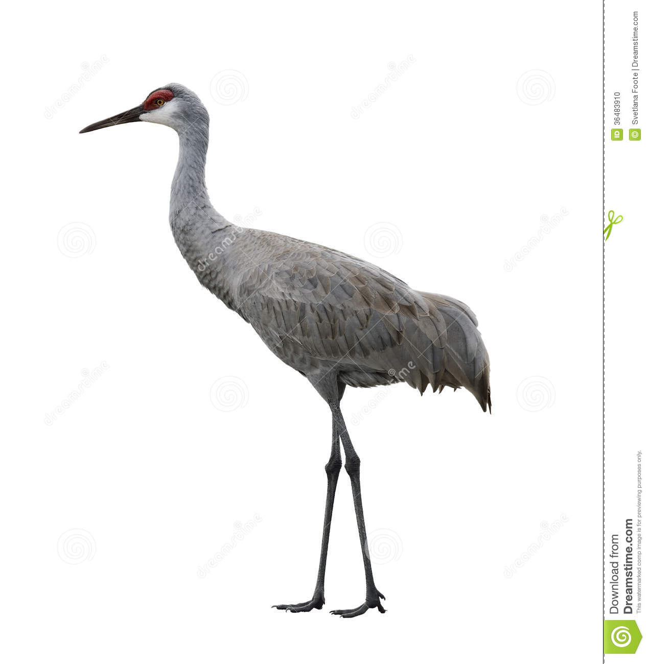 Sandhill Crane Bird Stock Photo - Image: 36483910