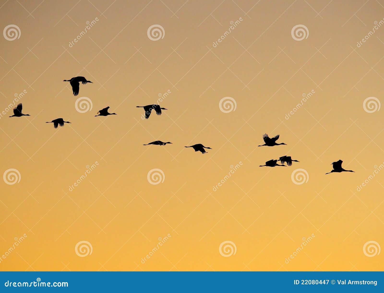 It Was Twilight And Sandhill Cranes >> Sandhill Crane Flight Pattern Stock Image Image Of Feather Cranes