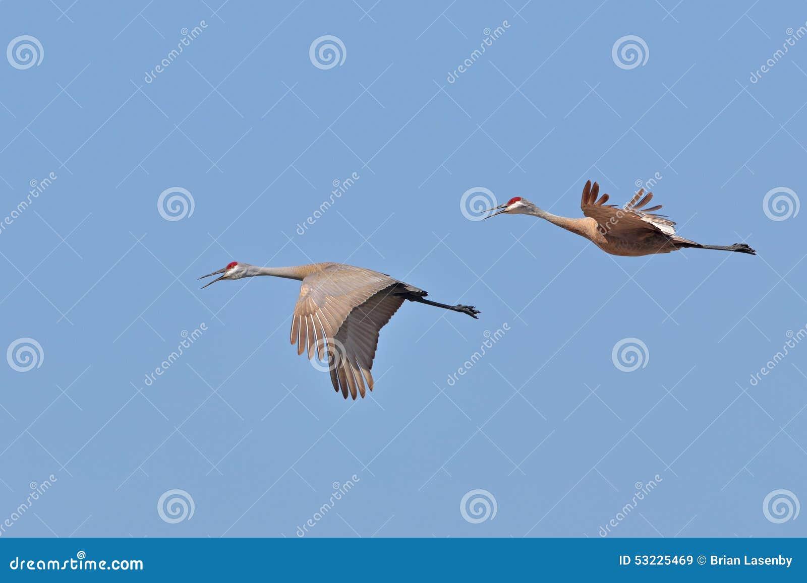 Sandhill cranes en vuelo