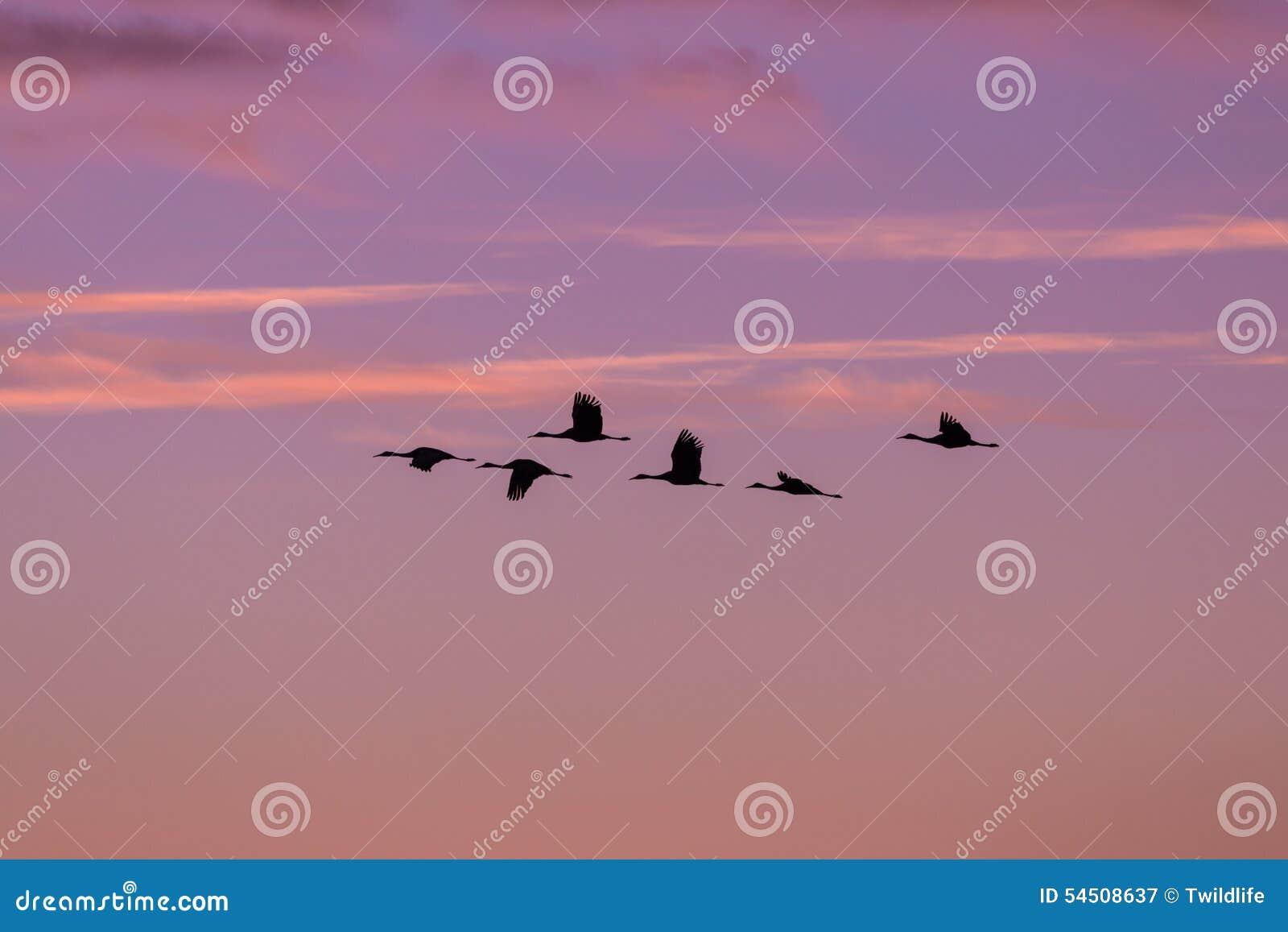 Sandhill tend le cou en vol au lever de soleil