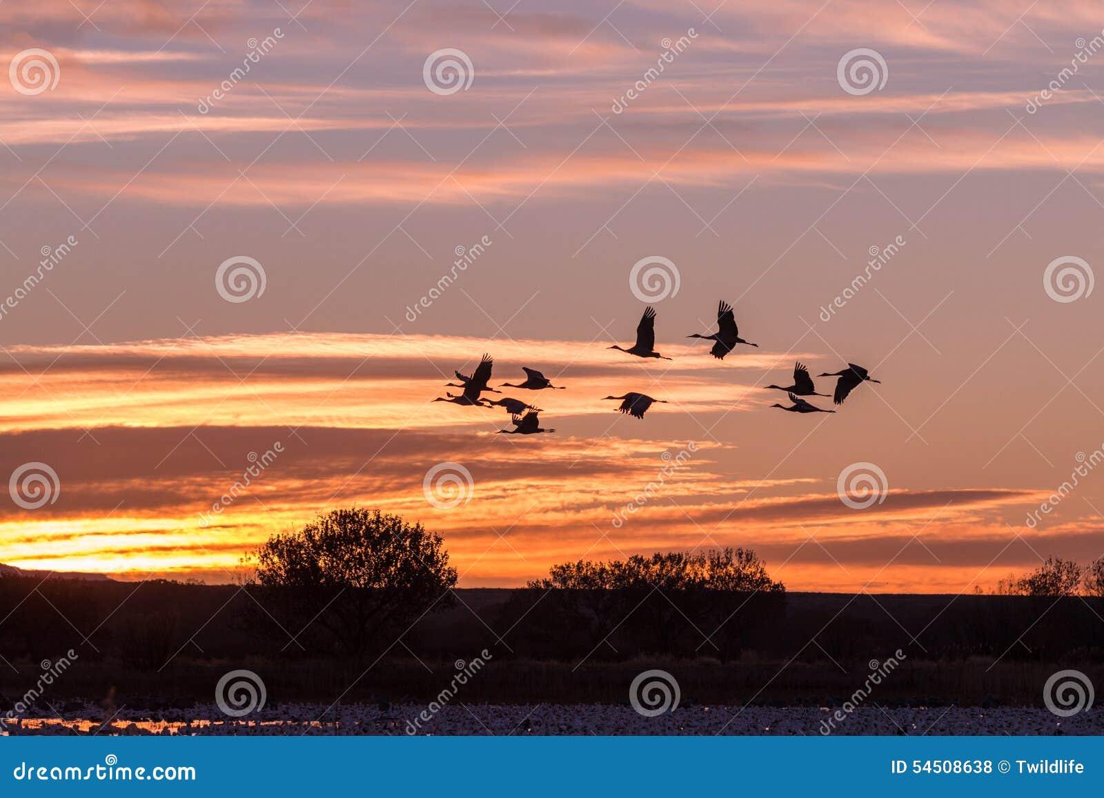 Sandhill tend le cou le vol au lever de soleil