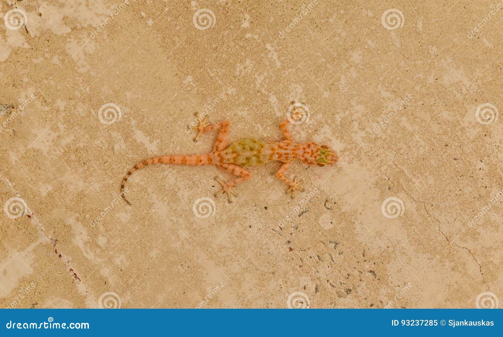 Sandige Wand-Beschaffenheit der Eidechse Fan-fingriger Gecko
