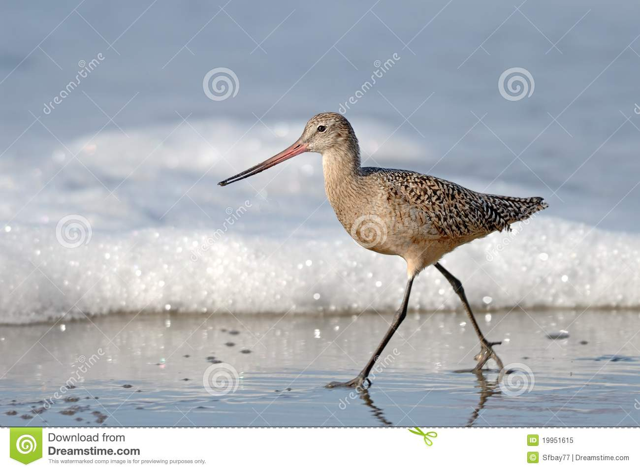 Sandpiper Bird Walking On Beach With Sea Foam Royalty Free Stock Photo ...