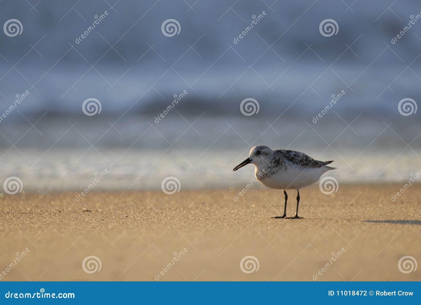 Sandpipper en golven