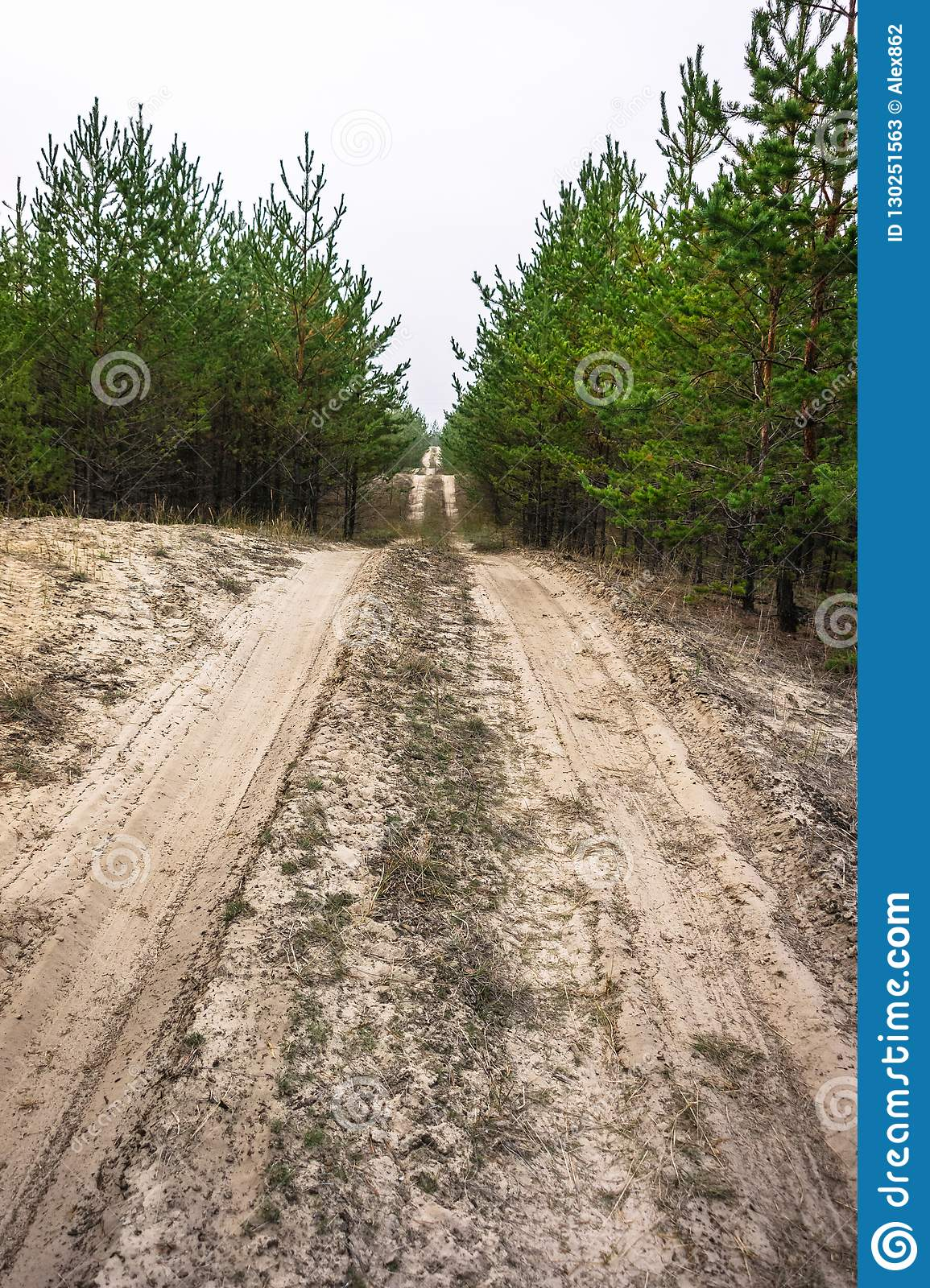 Sandy road in a young pine forest