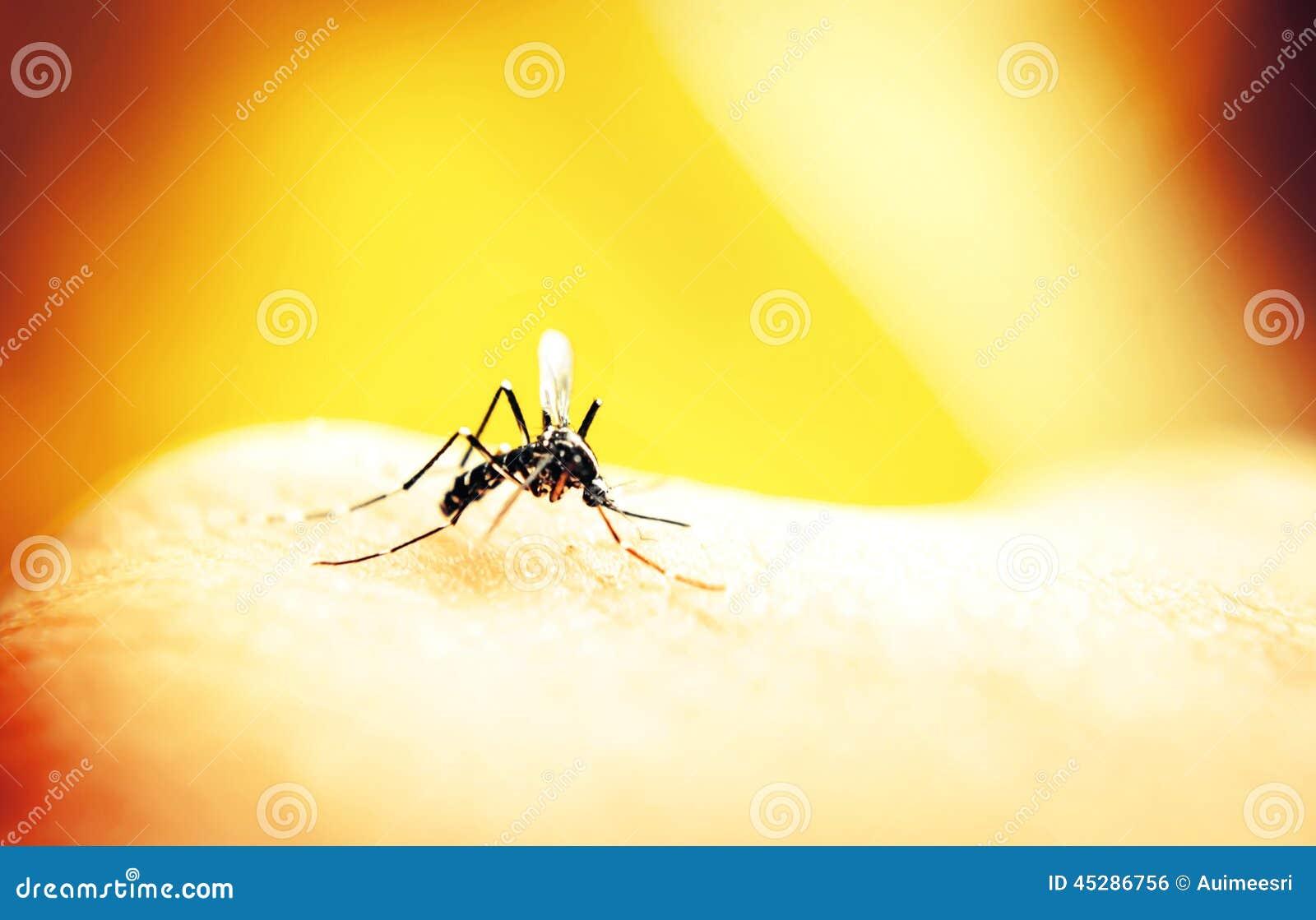 Sangre que aspira del mosquito