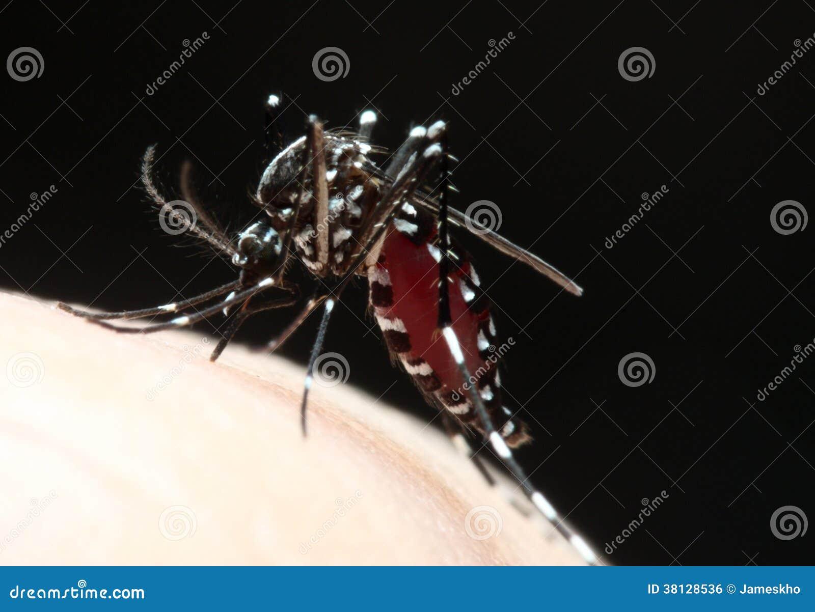 Sangue de sugação do mosquito do Aedes