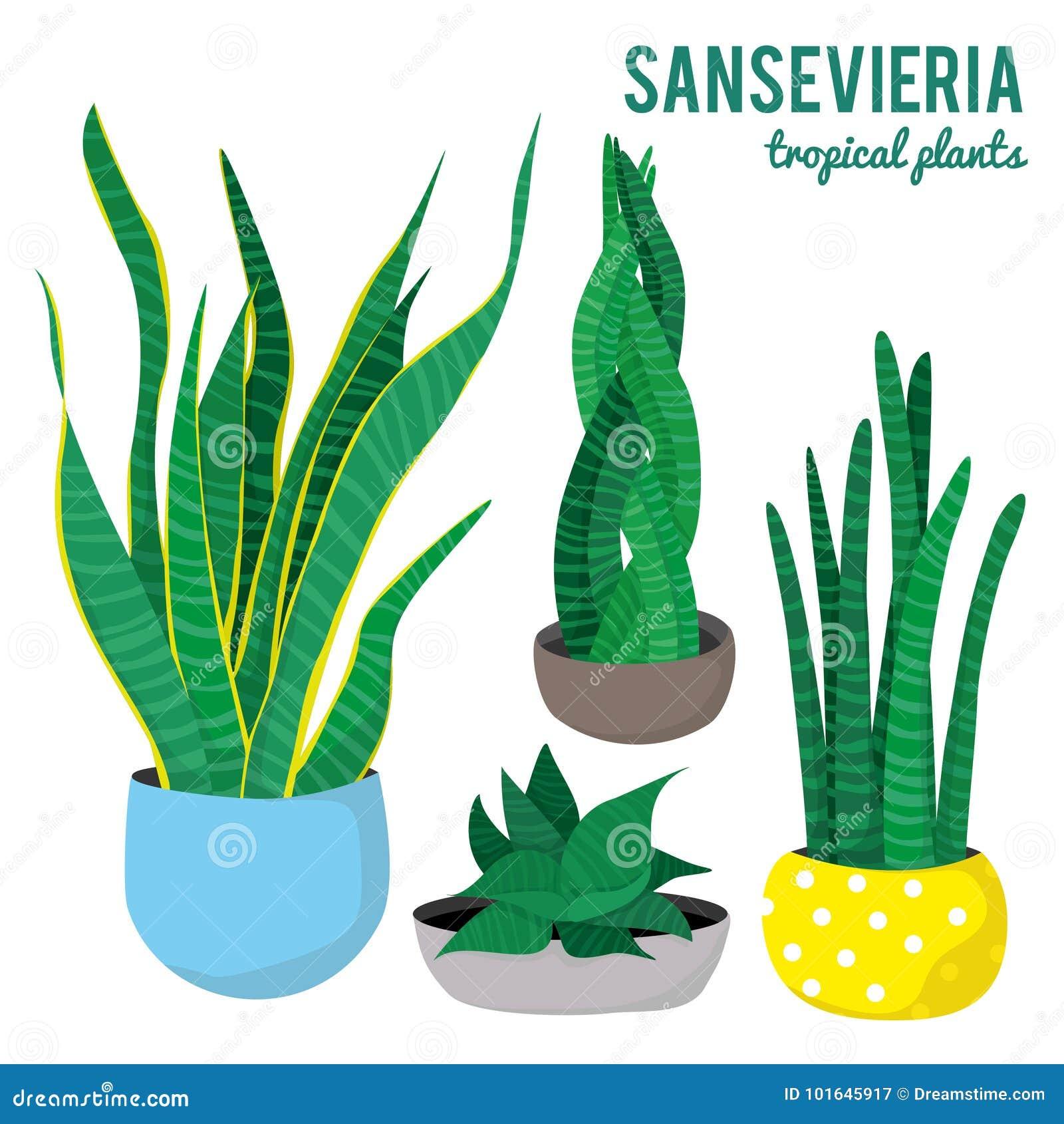 Sansevieria rośliny w ceramicznych garnków różnych kształtach na białym tle odizolowywali wektory