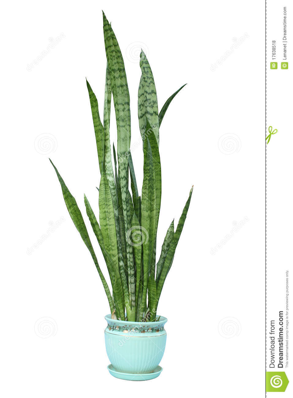 sansevieria trifasciata green plant stock photo image 17638518. Black Bedroom Furniture Sets. Home Design Ideas