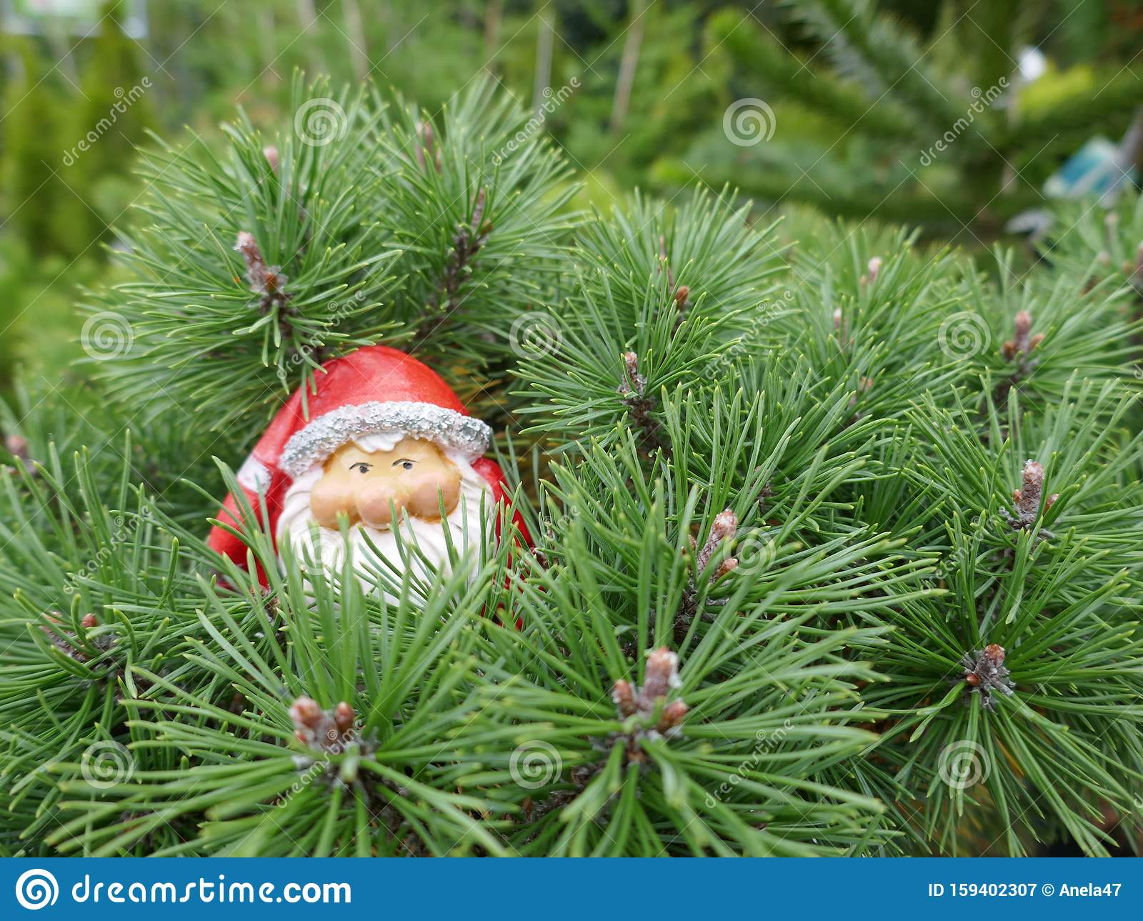 Santa Claus In The Forest A Cute Little Garden Gnome In Santa Claus Costume Hides In The Forest Between Pine Branches Stock Image Image Of Advent Hides 159402307