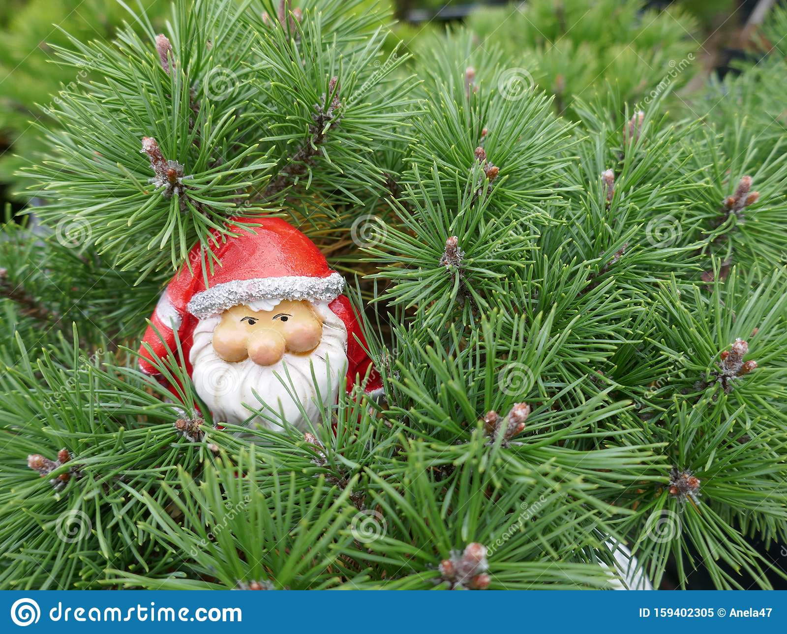 Santa Claus In The Forest A Cute Little Garden Gnome In Santa Claus Costume Hides In The Forest Between Pine Branches Stock Image Image Of Hides Beard 159402305