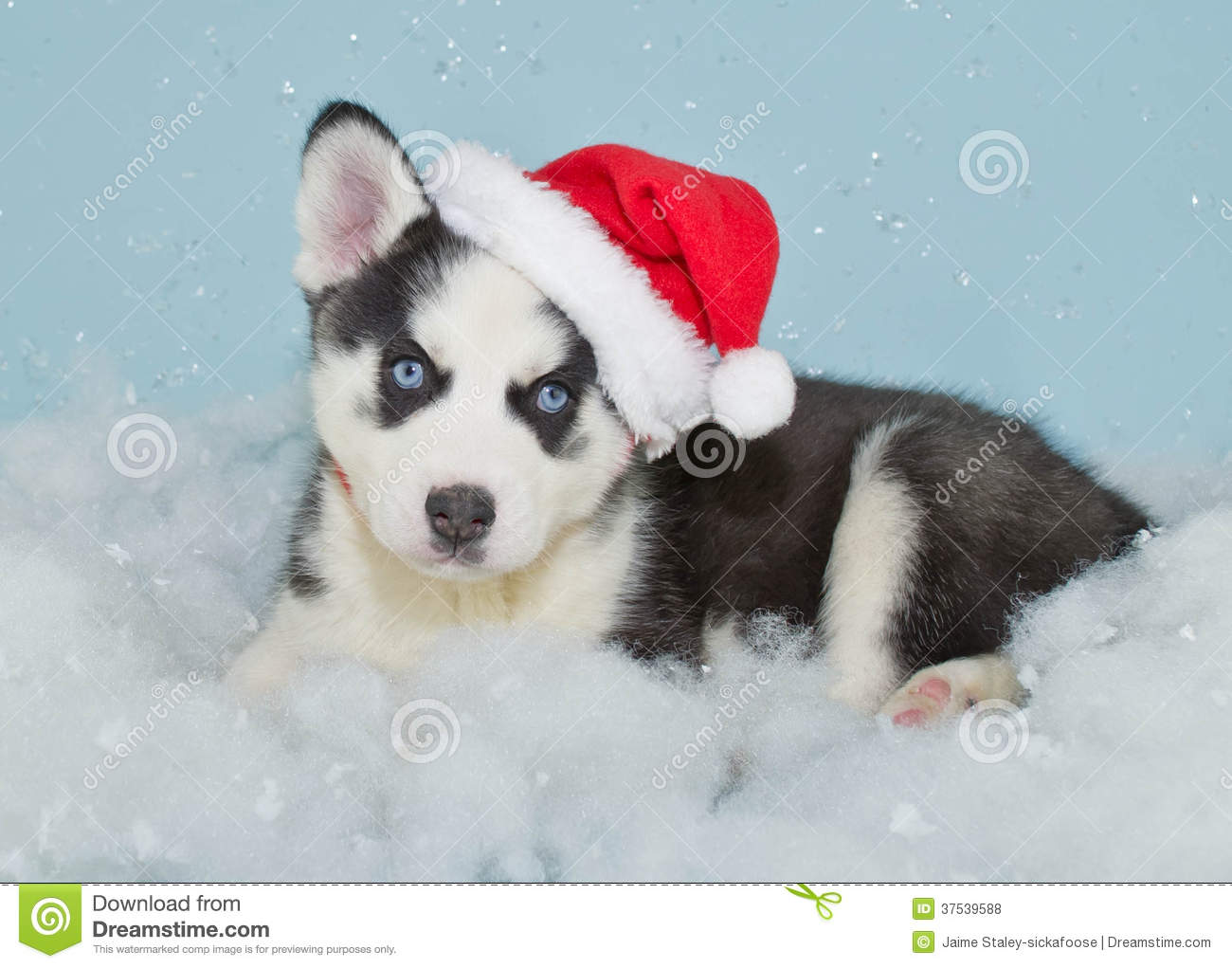 very sweet Husky puppy wearing a santa hat laying in the snow.