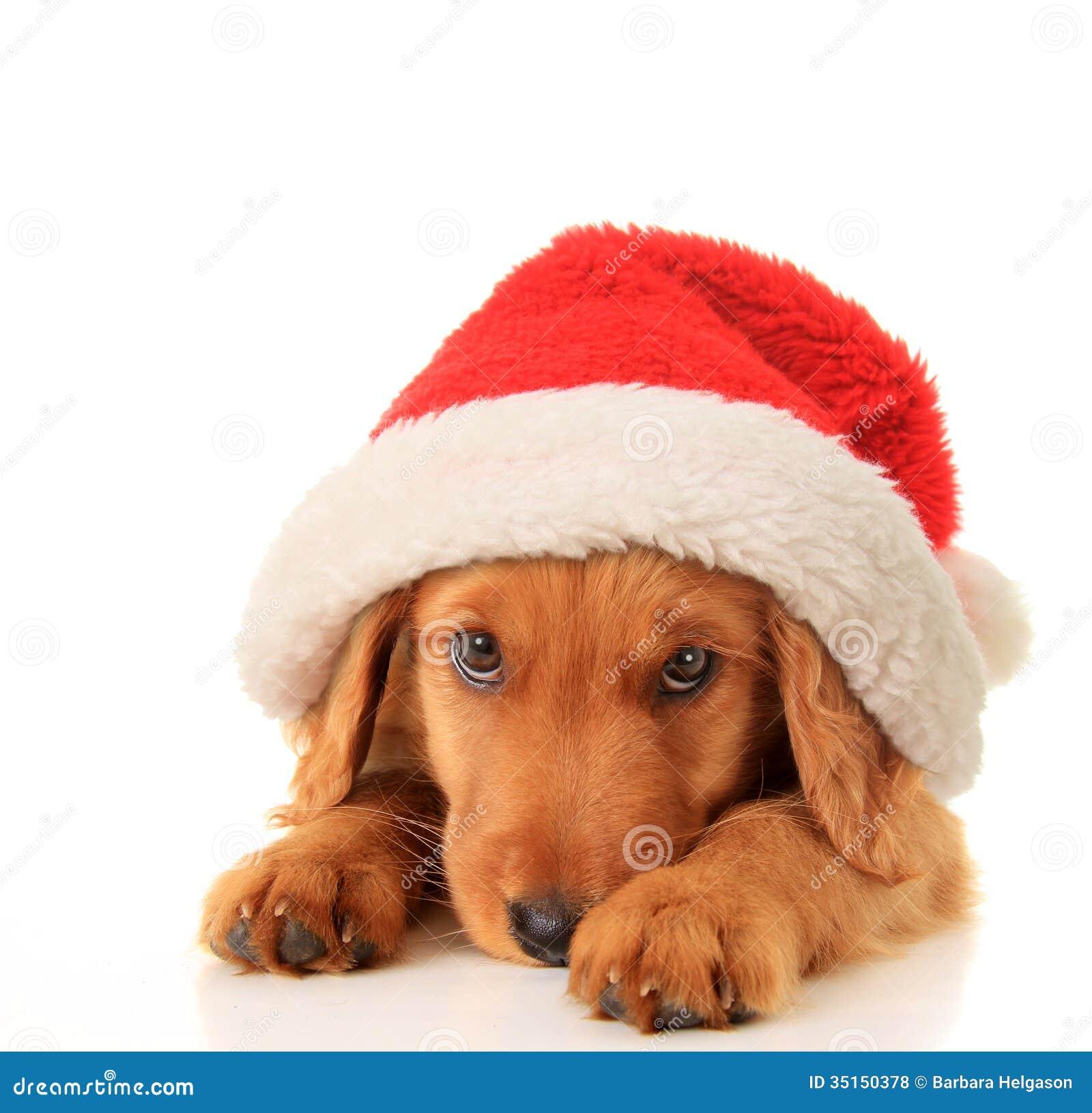 Santa puppy royalty free stock photos image