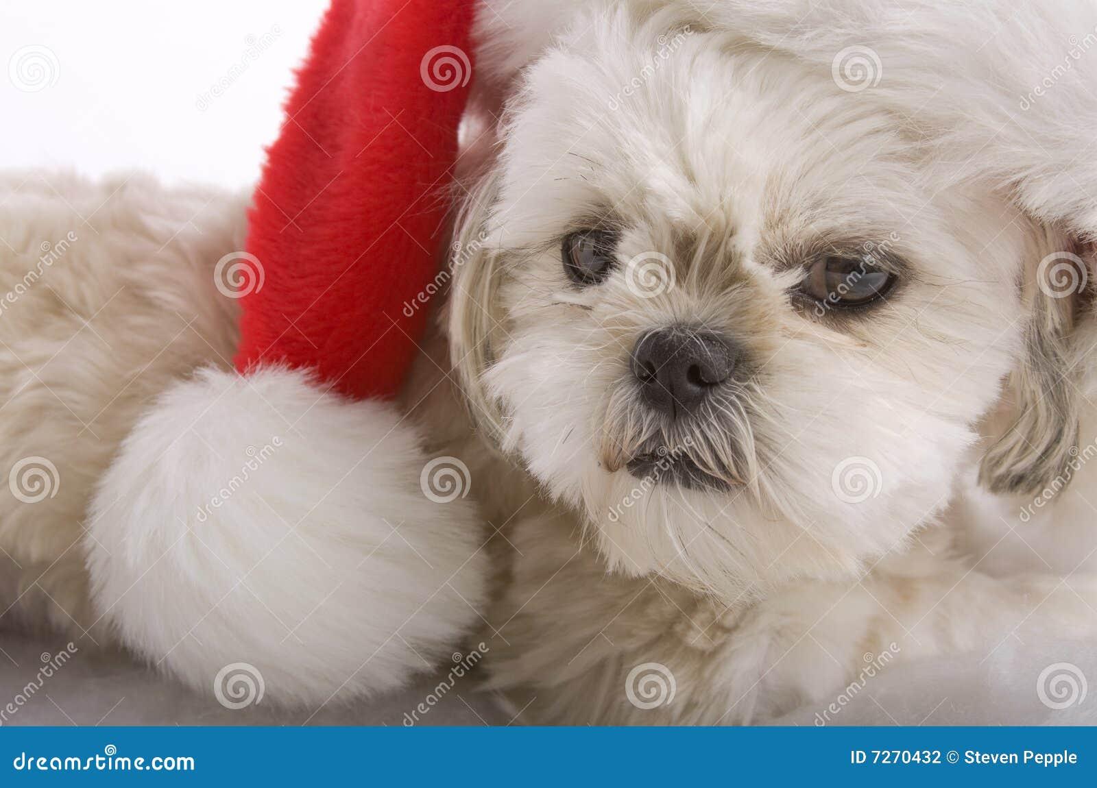 Santa Shih Tzu Stock Photo Image Of Puppies Gifts Canine 7270432