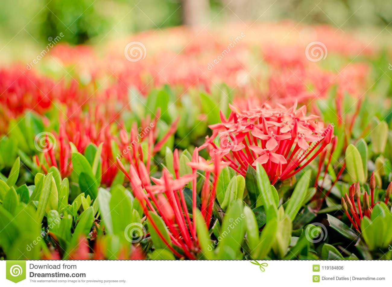 37 Red Santan Plant Photos - Free & Royalty-Free Stock Photos from  Dreamstime