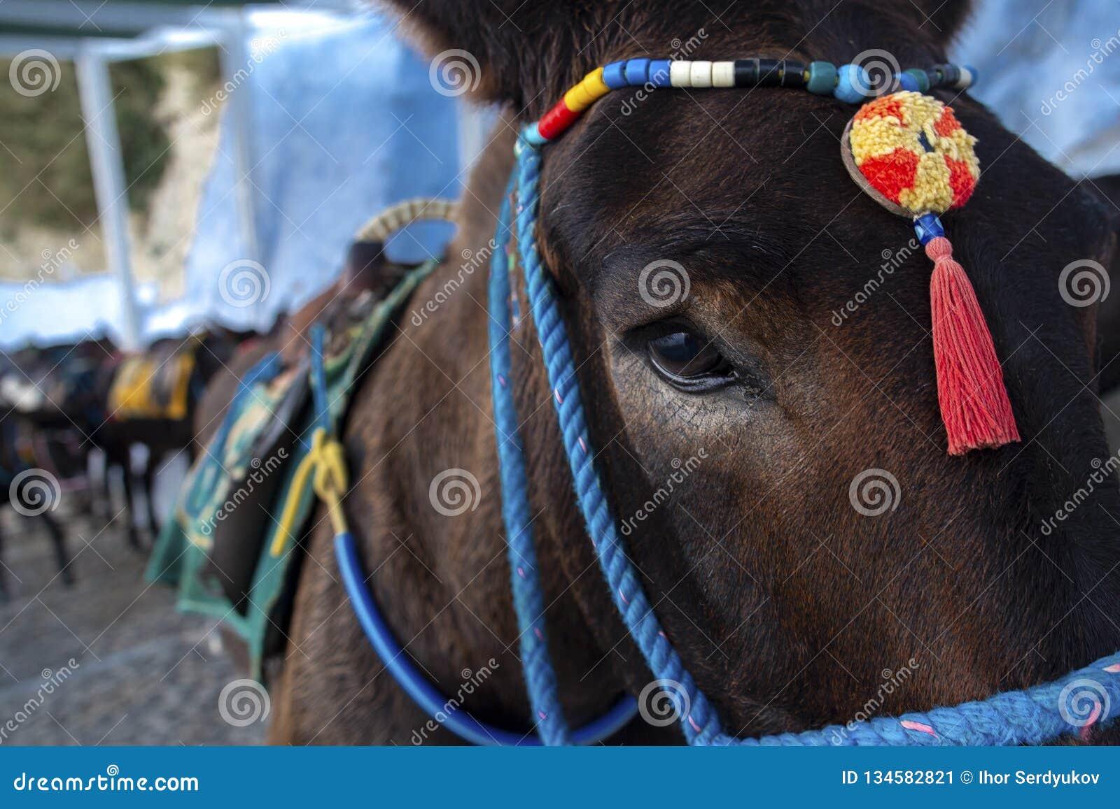 Santorini Donkey - symbol of the island. Santorini, Thira, Greece. Donkey in Fira on Santorini in the Aegean. Traditional Greek