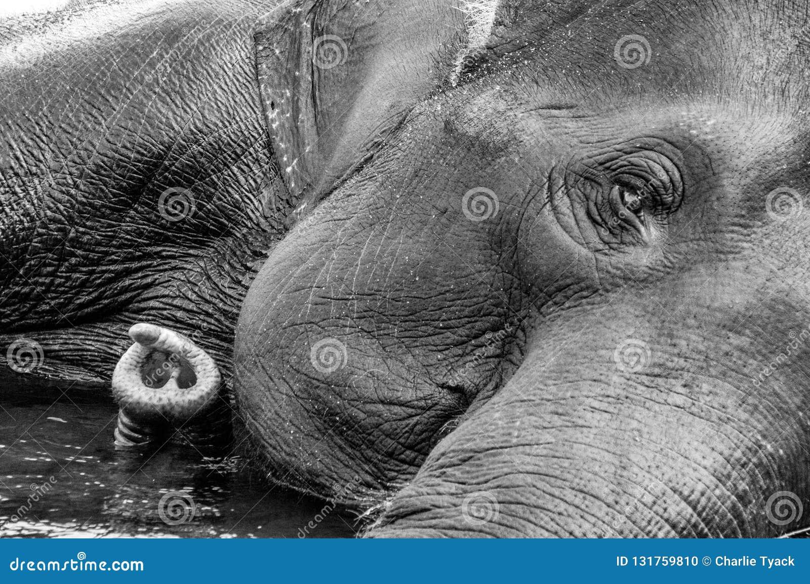 Santuario del elefante de Kodanad - baño del elefante en curso con el ojo y el tronco al izquierdo - blanco y negro