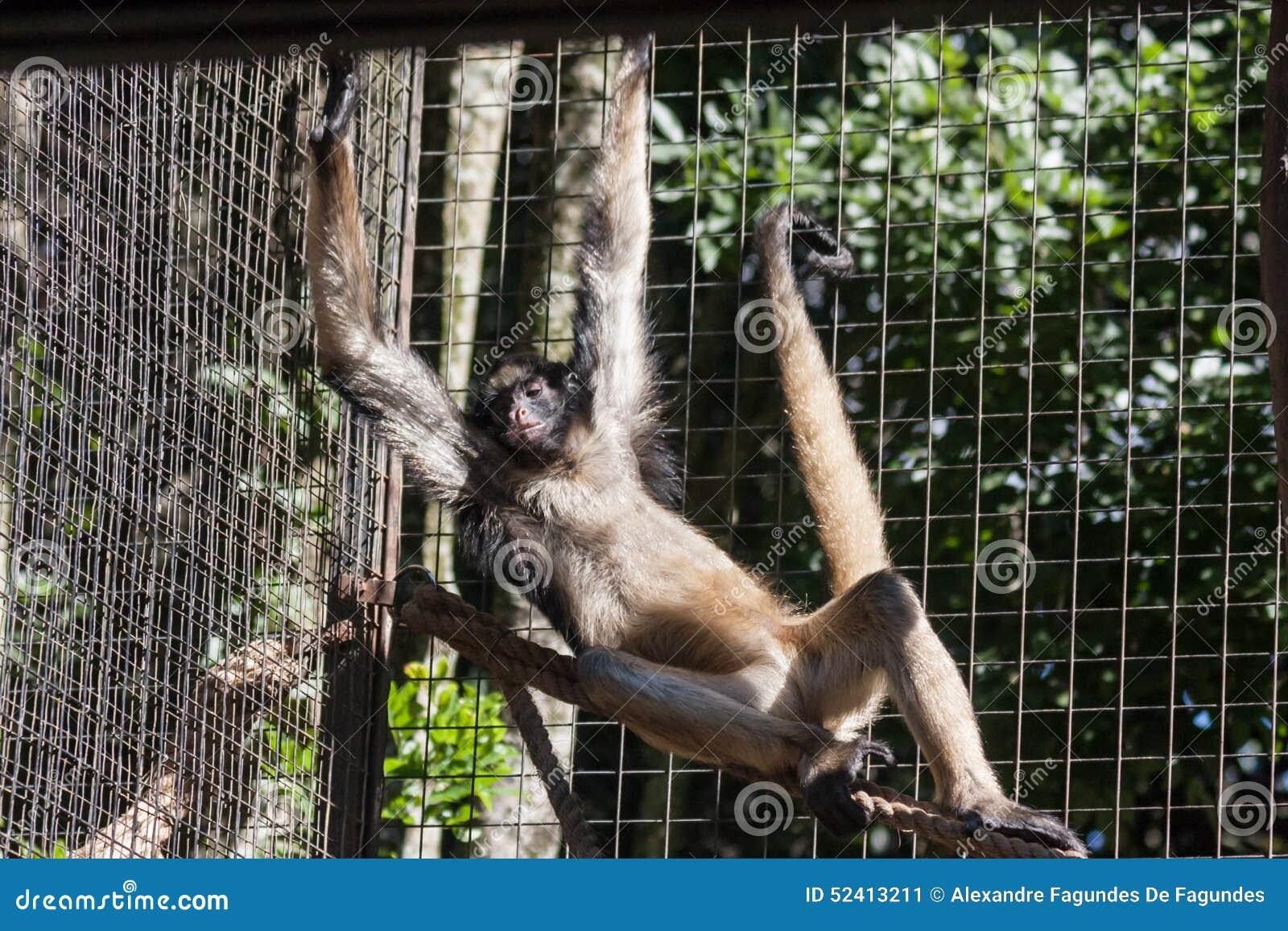 Sao Paulo Brazil di Itatiba della scimmia
