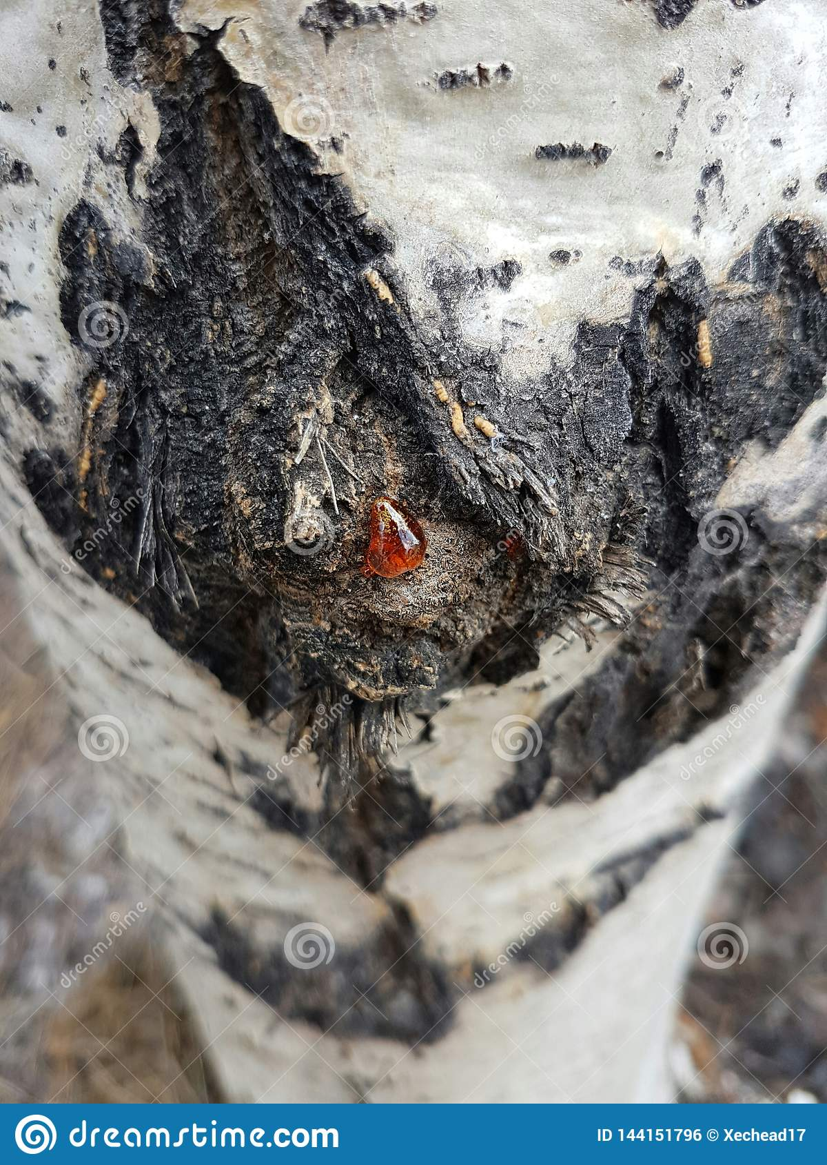 Sap op een espboom