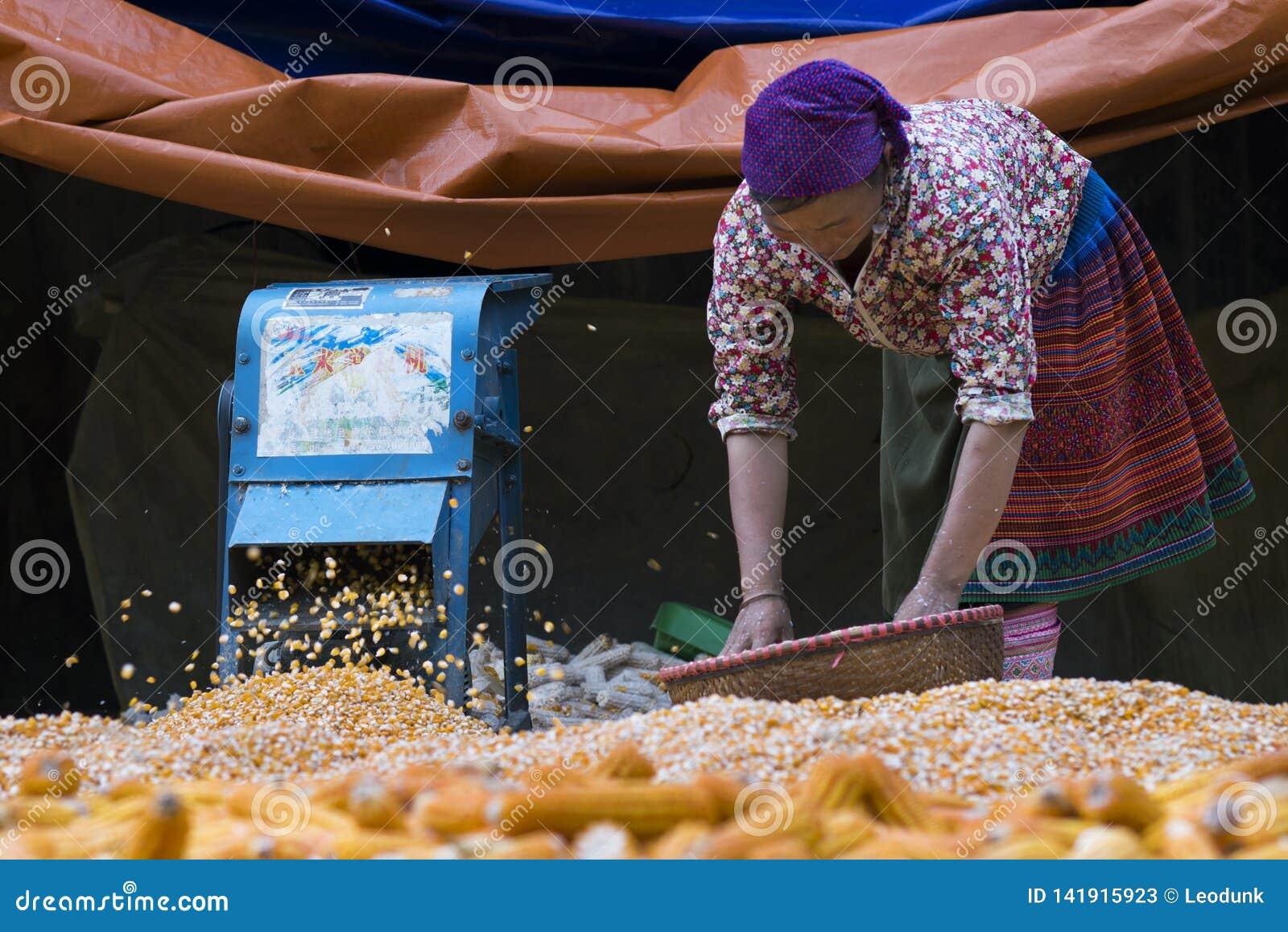 Sapa, Lao Cai, Vietnam - 08 16 2014: Vietnamese Hmong-vrouwenlandbouwer die met graan in een dorp van Sapa, Lao Cai, Vietnam werk
