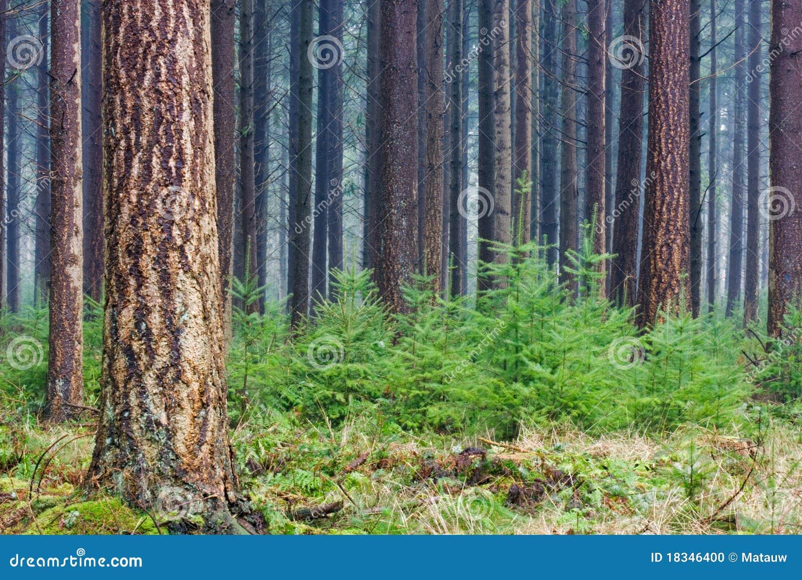 Sapin de Douglas photo stock. Image du arbres, douglas - 18346400