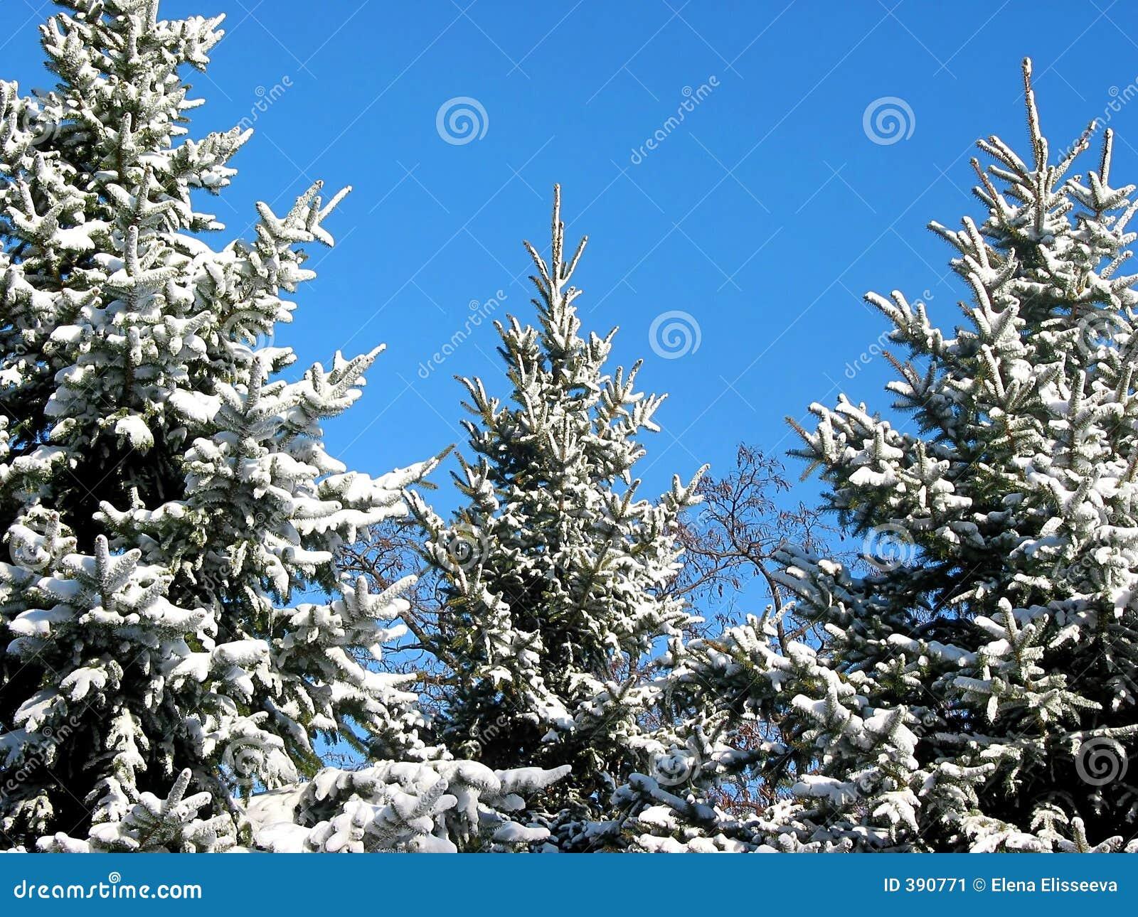 Sapins de l hiver sous la neige 1