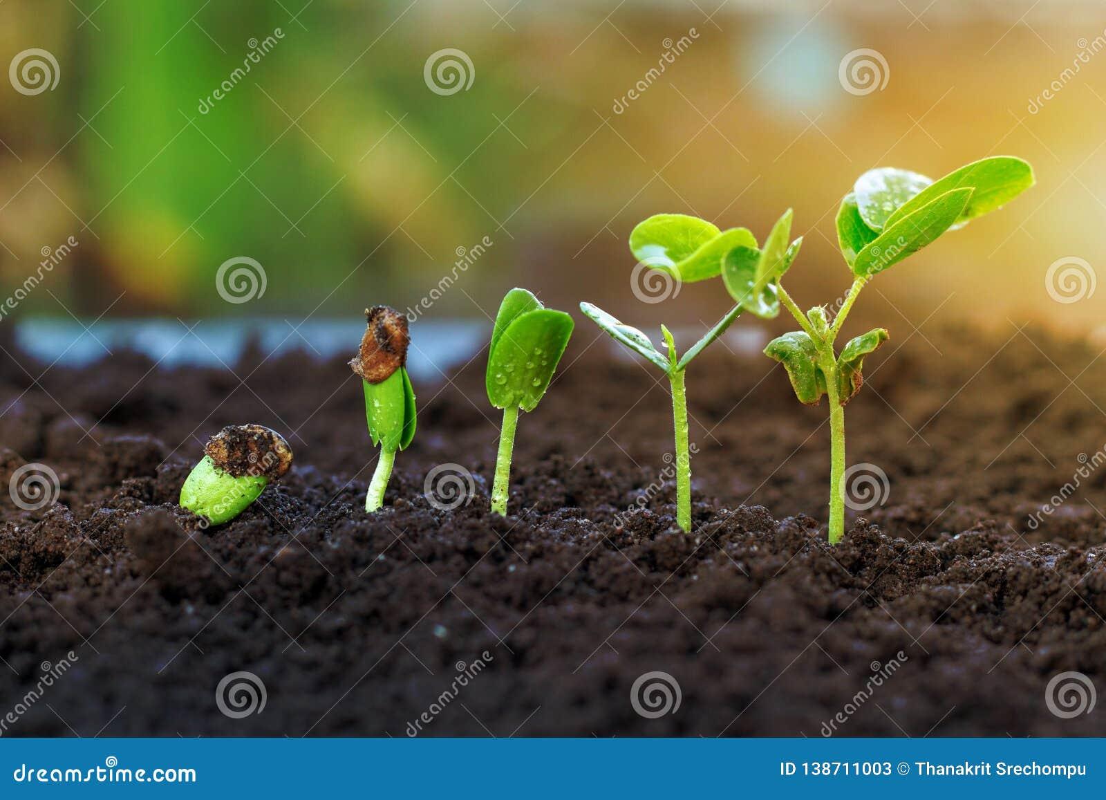 Sapling growing