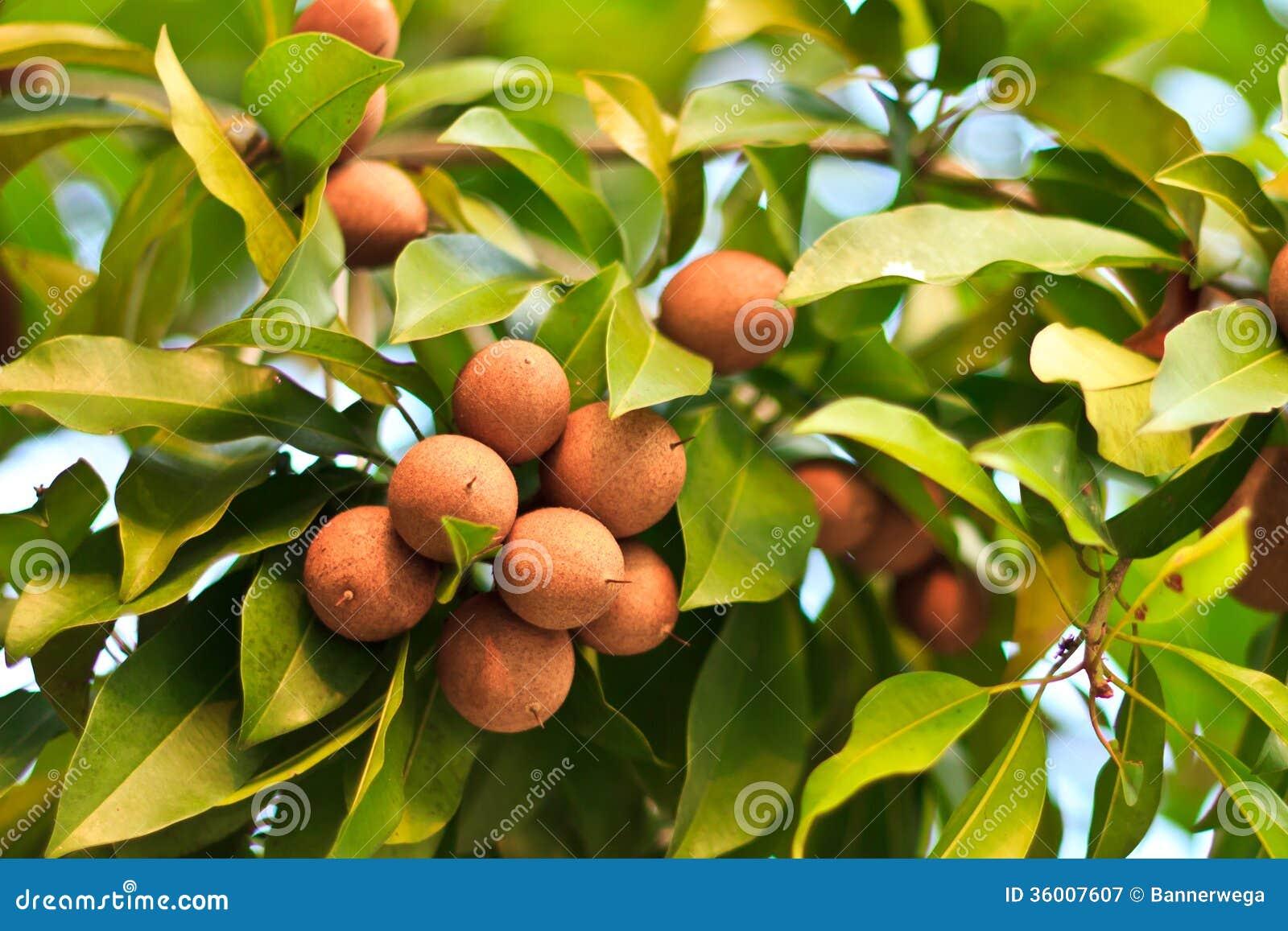 chico fruit fruit list