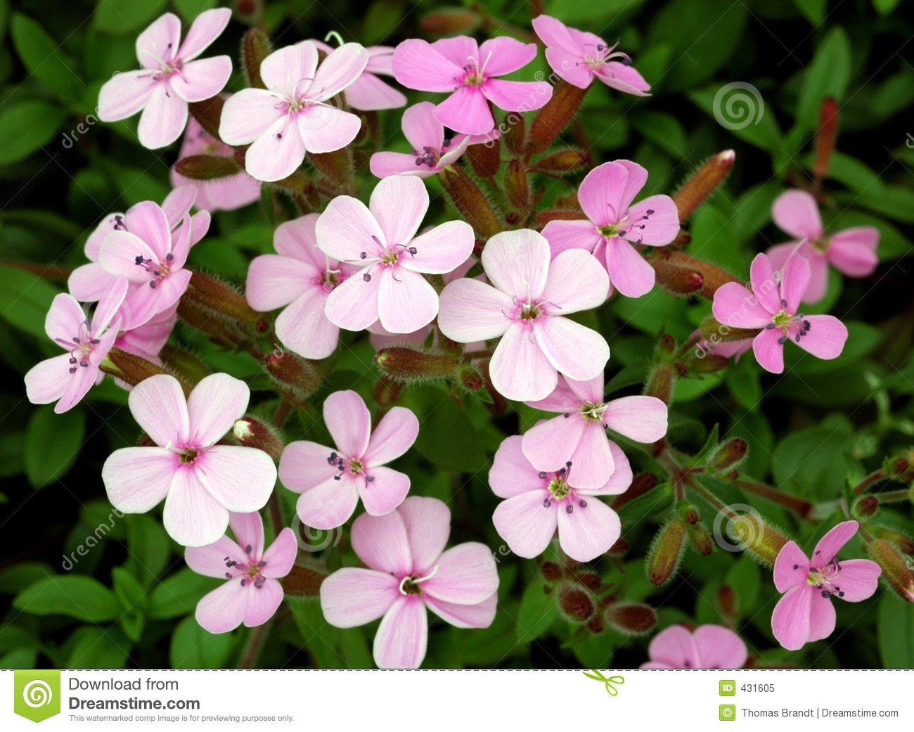 Closeup of cluster of dainty five-petalled pale pink to bright rose ...