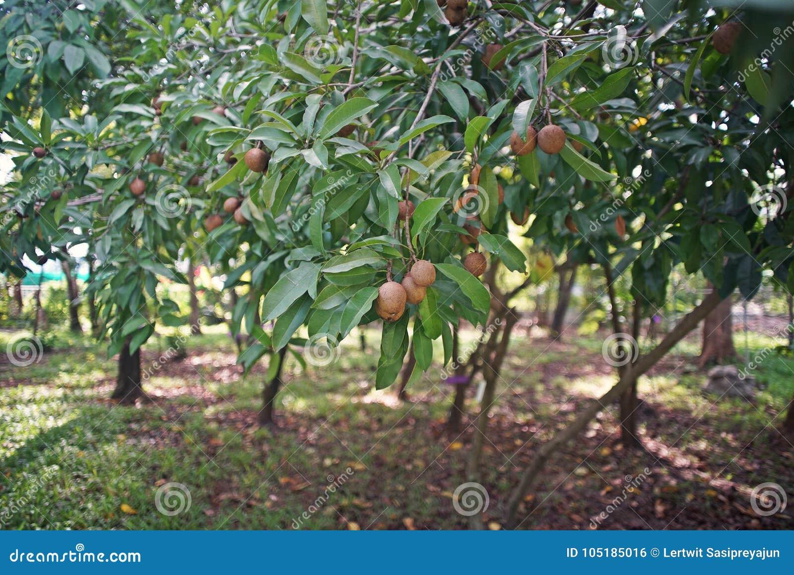 Piante Da Frutto Sempreverdi sapota, nativo sempreverde dell'albero da frutto nel messico