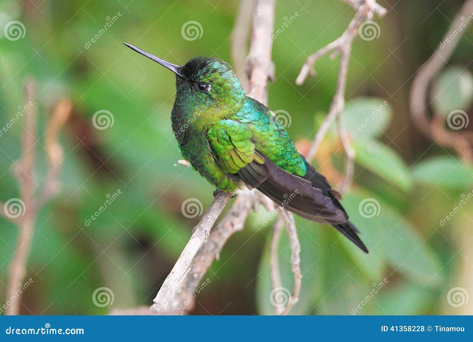 Sapphire-vented Puffleg, hummingbird in Ecuador