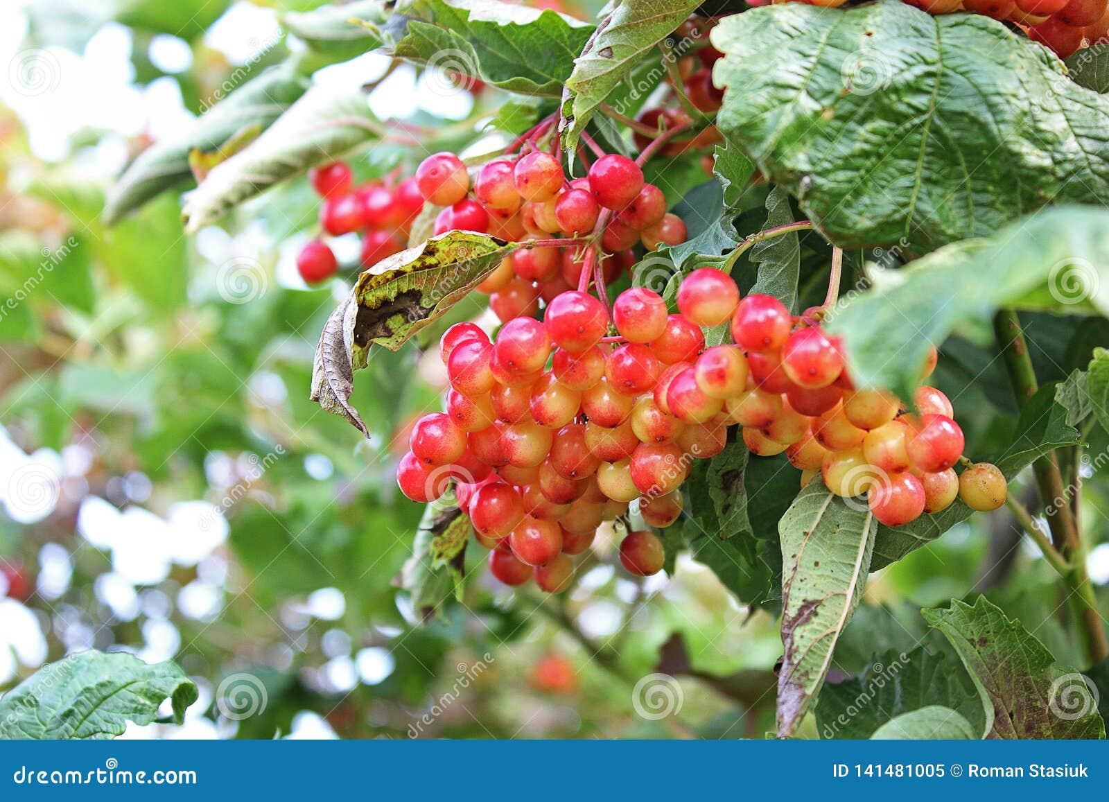 Sappige viburnum op de boom