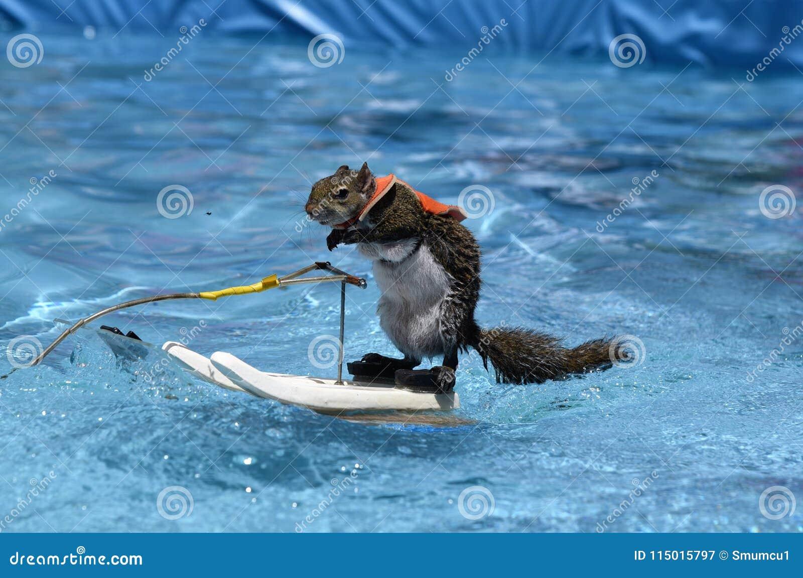 Sarasota, het Profiel van FL April 2018 stelt van de meester van water het ski?en Twiggy de Eekhoorn tijdens haar laatste show al
