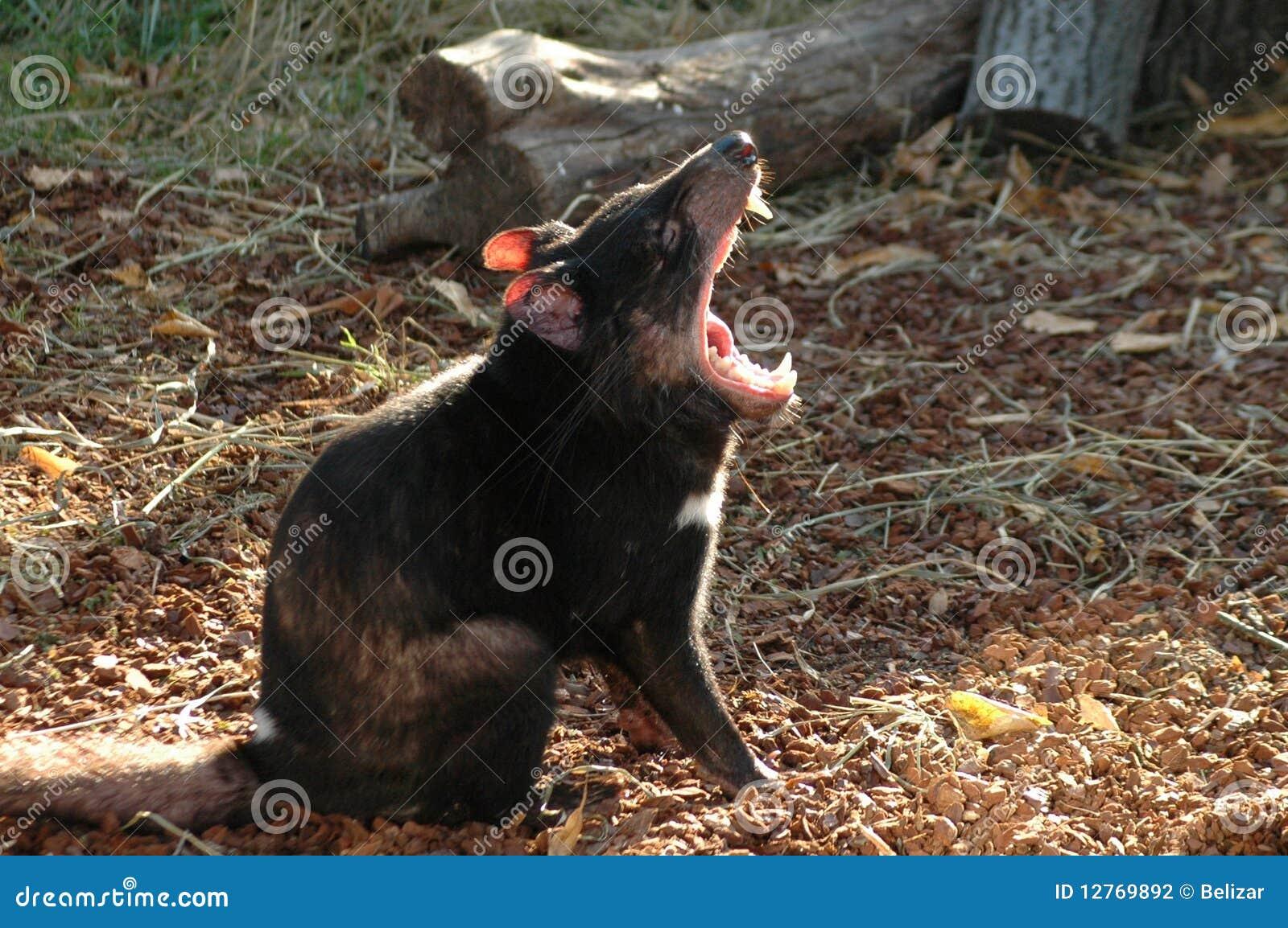 Sarcophilus harrisii дьявола tasmanian