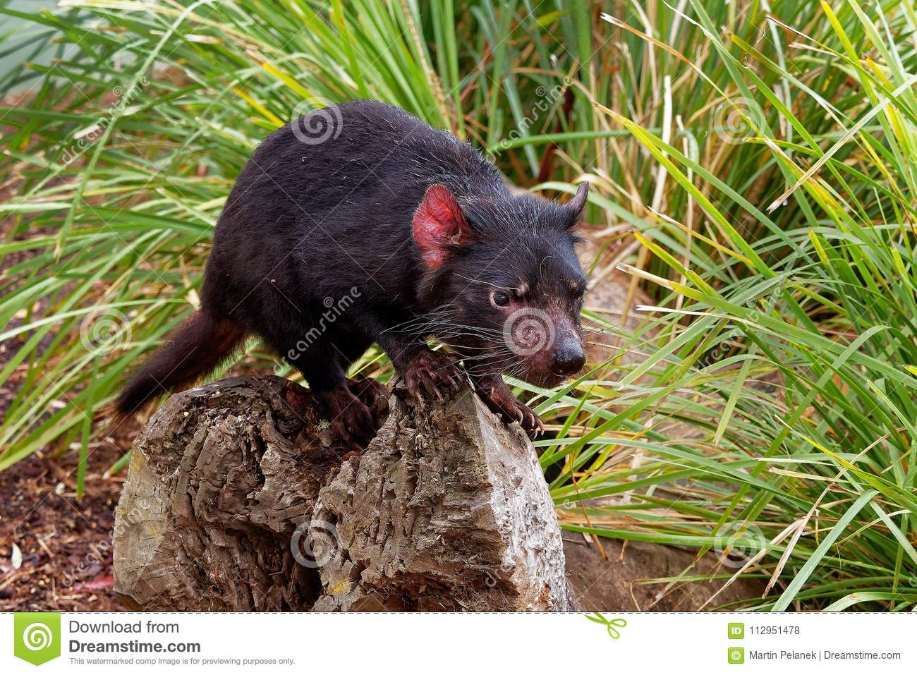 Sarcophilus harrisii - Tasmanian Devil in the night and day