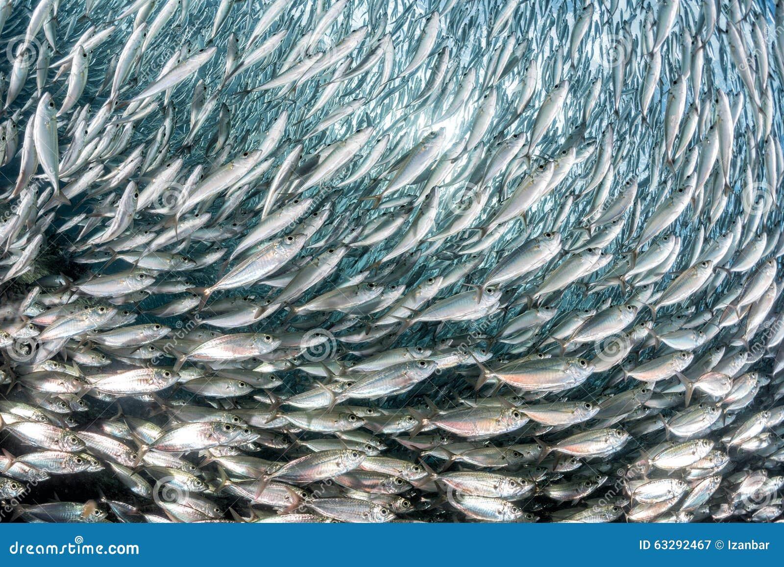 Sardine School Of Fish Underwater Stock Photo - Image: 63292467