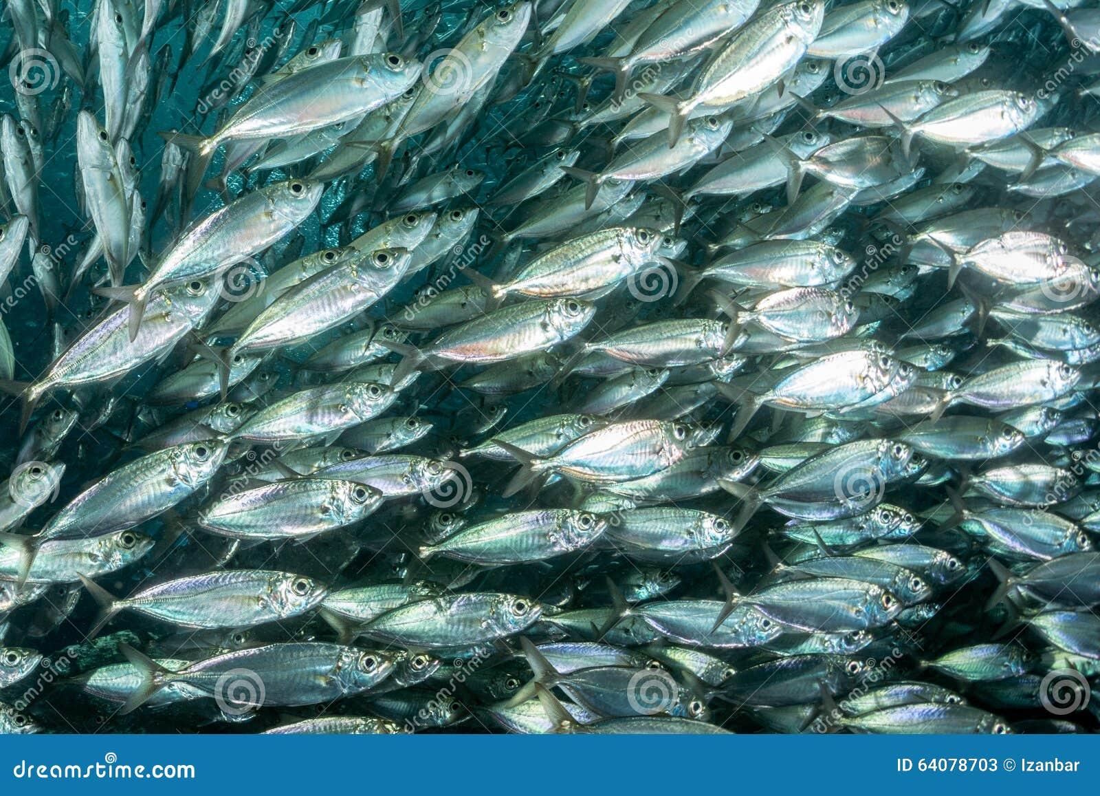 Sardine school of fish underwater stock photo image for School of fish lure