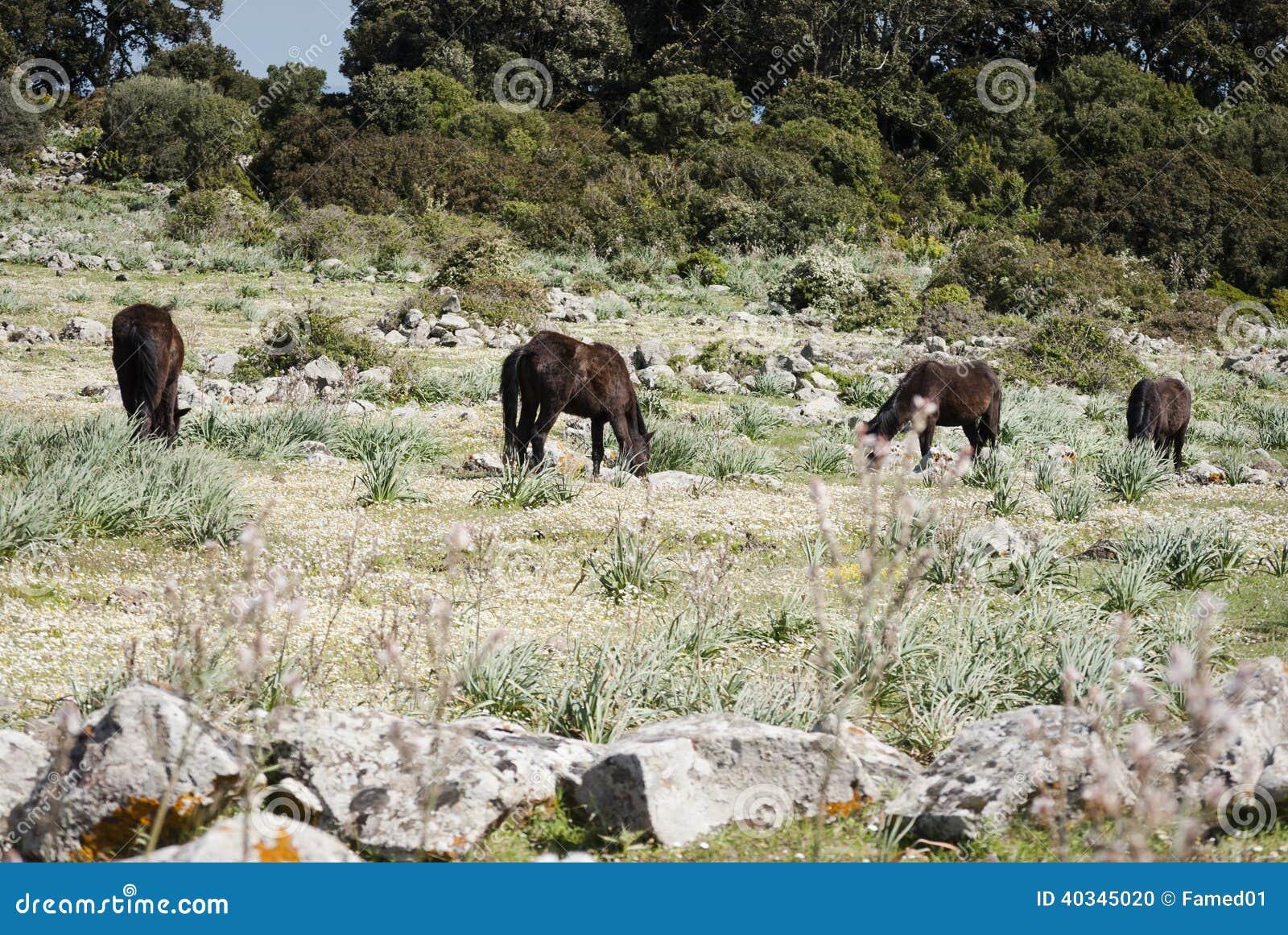 Sardinige. De Giara-paarden