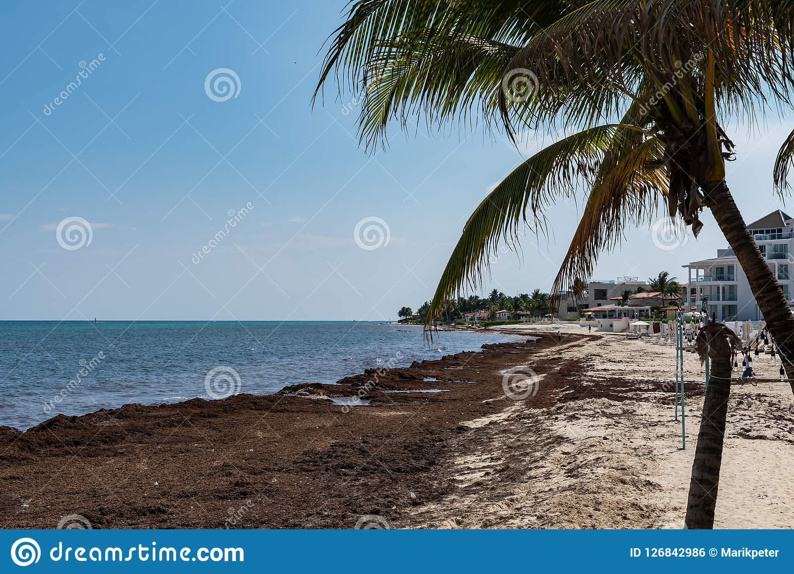 Sargassum Seaweed Sea Algae Problem On The Beach Of Mexico Stock