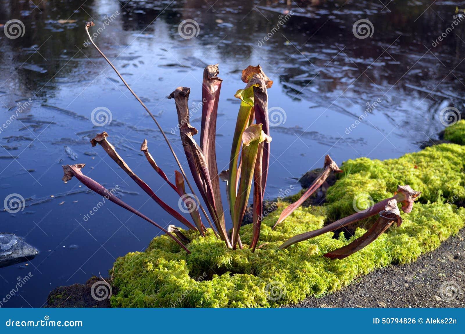 Sarracenia hybrida stock photo image of winter black for Pond plants that survive winter