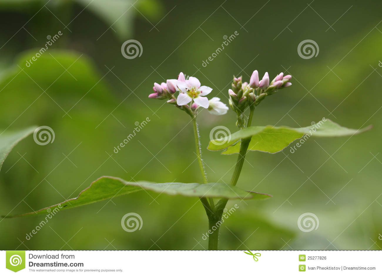 sarrasin dans la fleur photo stock image du bleu ciel 25277826. Black Bedroom Furniture Sets. Home Design Ideas