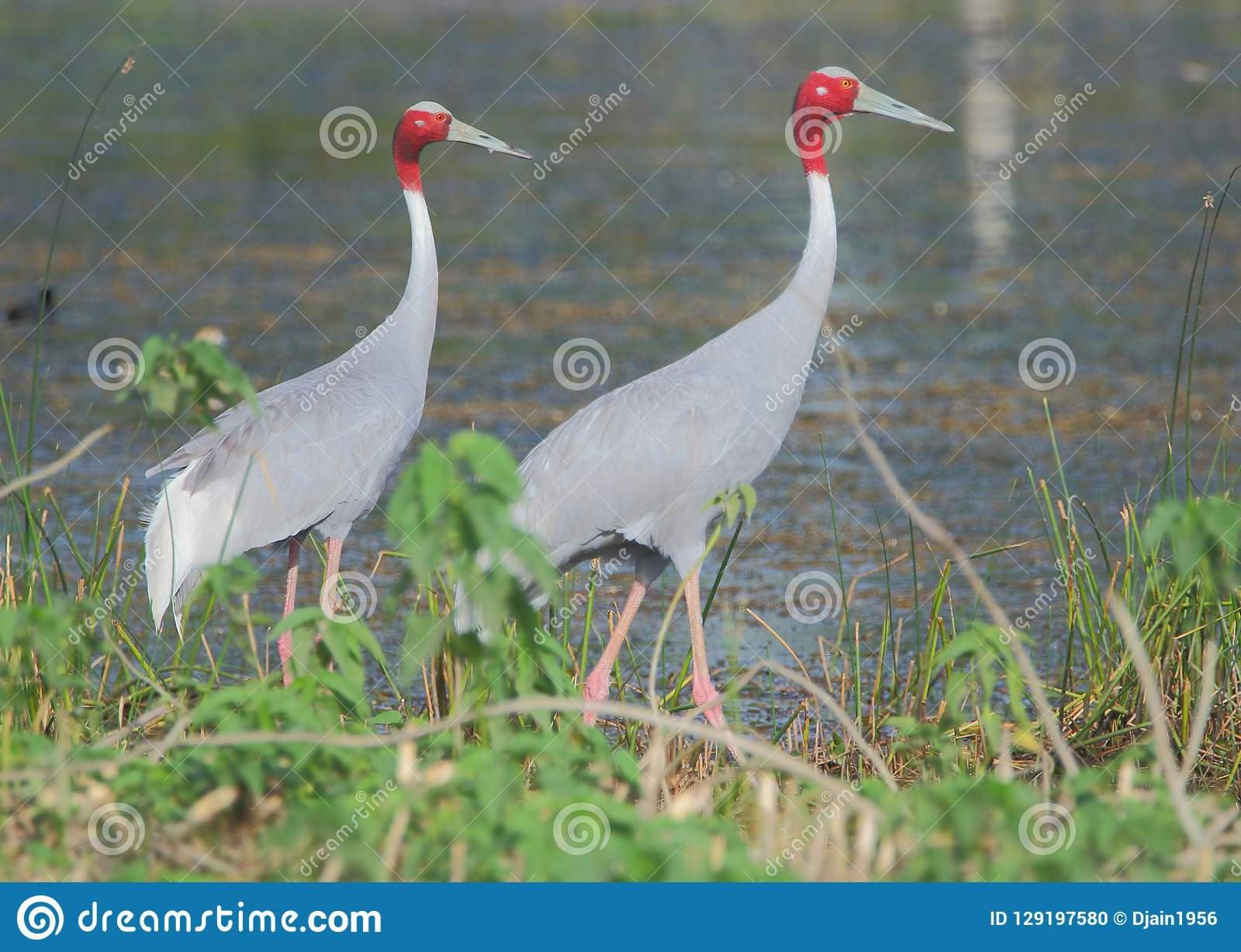 Sarus起重机走在池塘的边缘的鸟夫妇