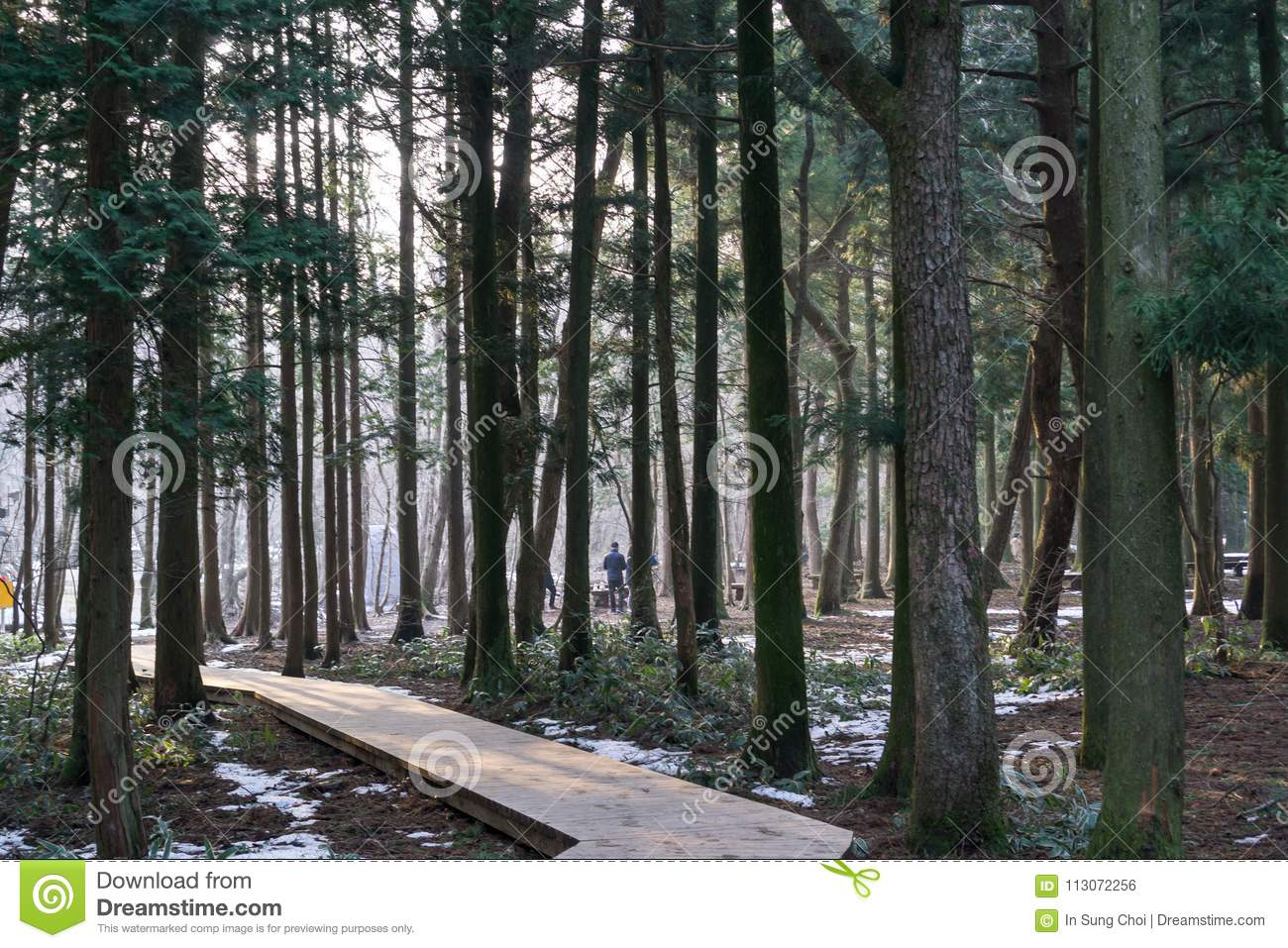 Saryeoni Cedar Tree Forest Pathway In Winter Stock Photo