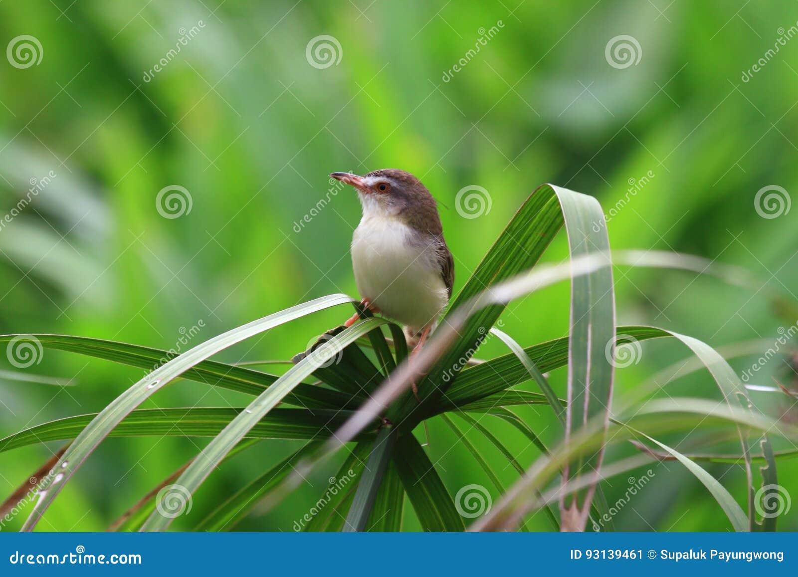 Sastre-pájaro común en hoja de palma