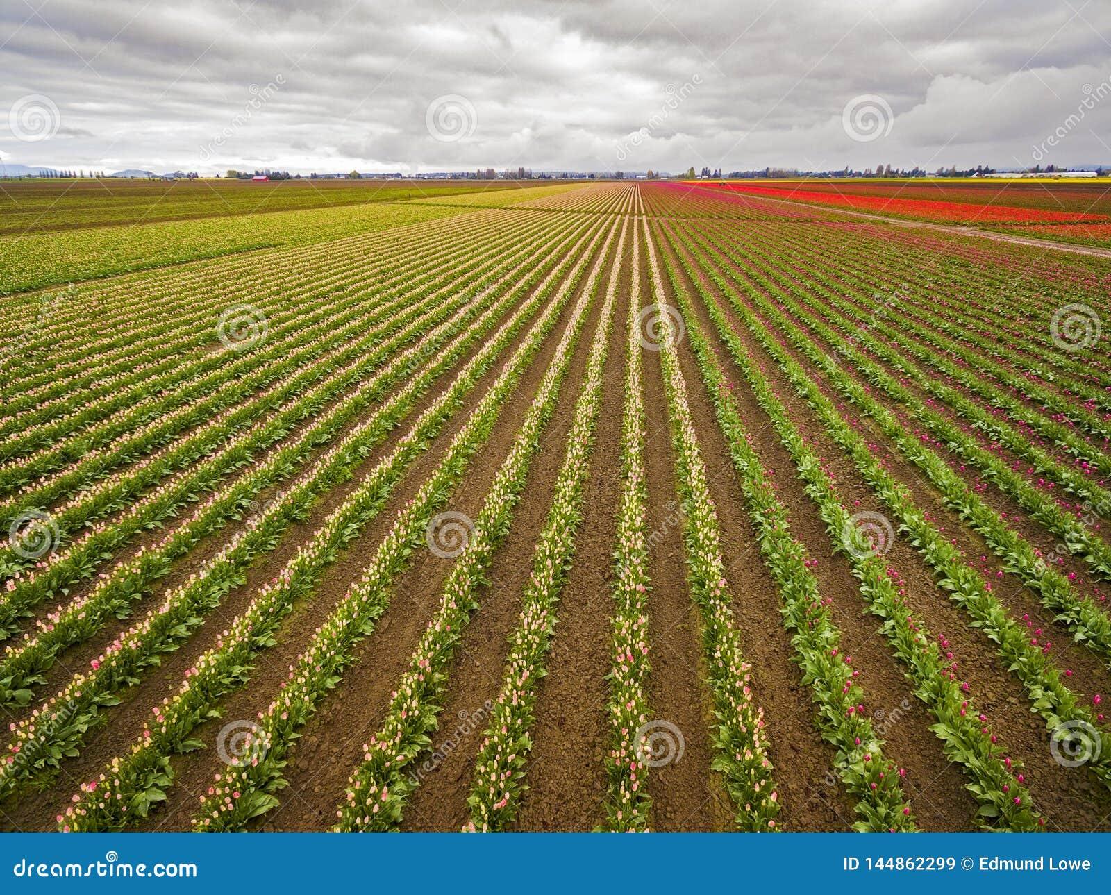 Satellietbeeld van Kleurrijke Tulip Fields van Skagit-Vallei, Washington