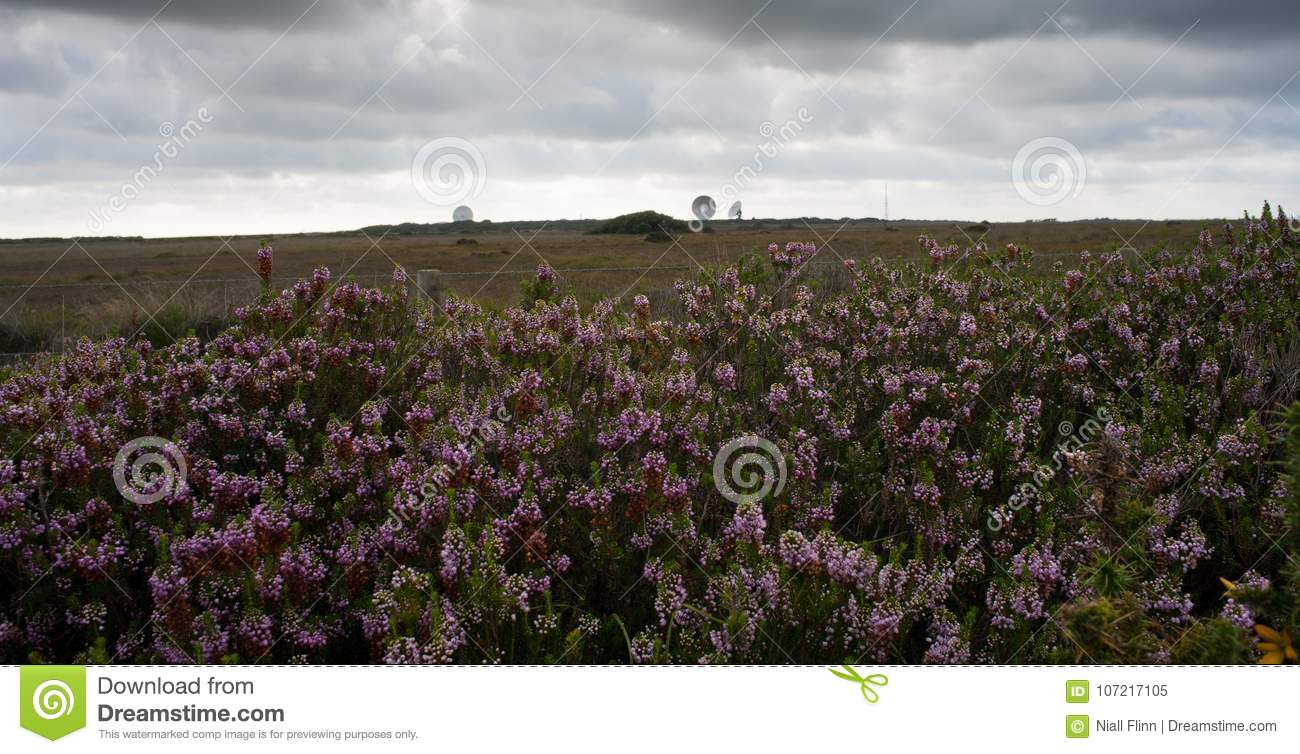 Goonhilly Satellite Dishes and Heather